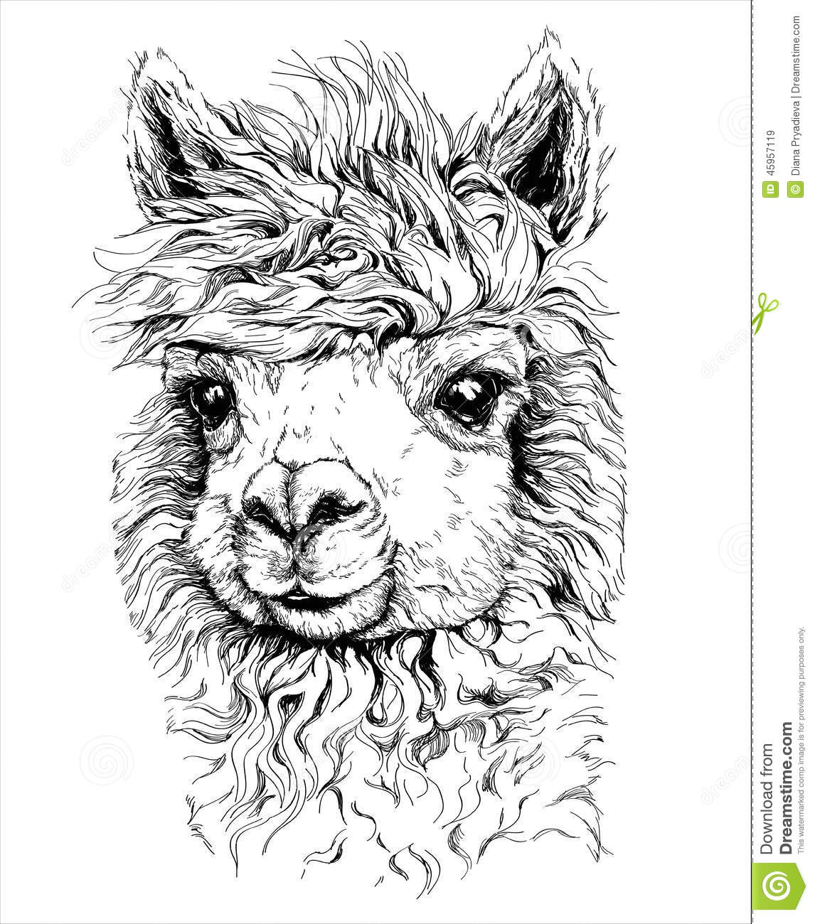 Realistic sketch of LAMA Alpaca, black and white drawing, isolated on white