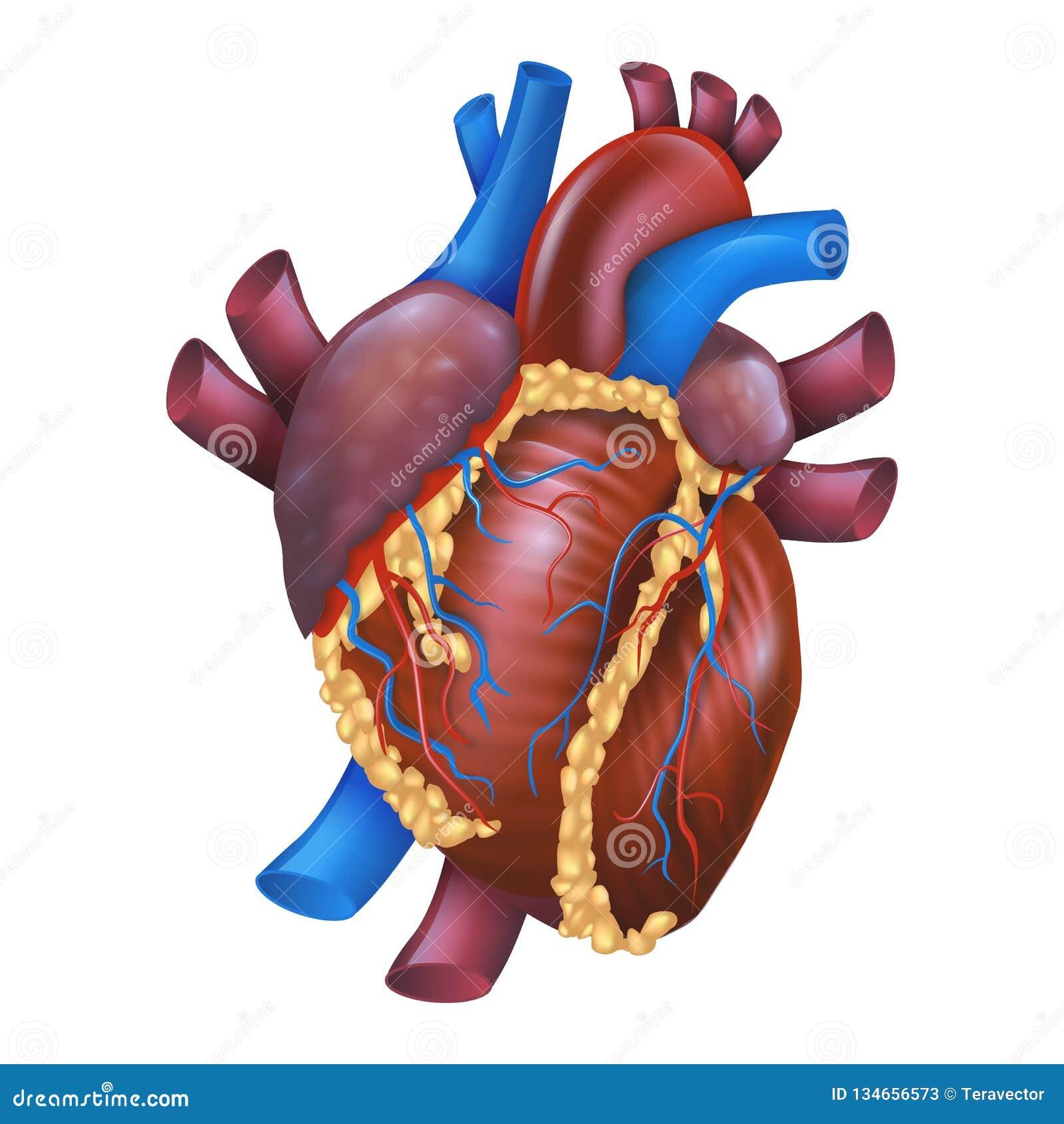 Realistic Vector Illustration Human Healthy Heart Stock Vector