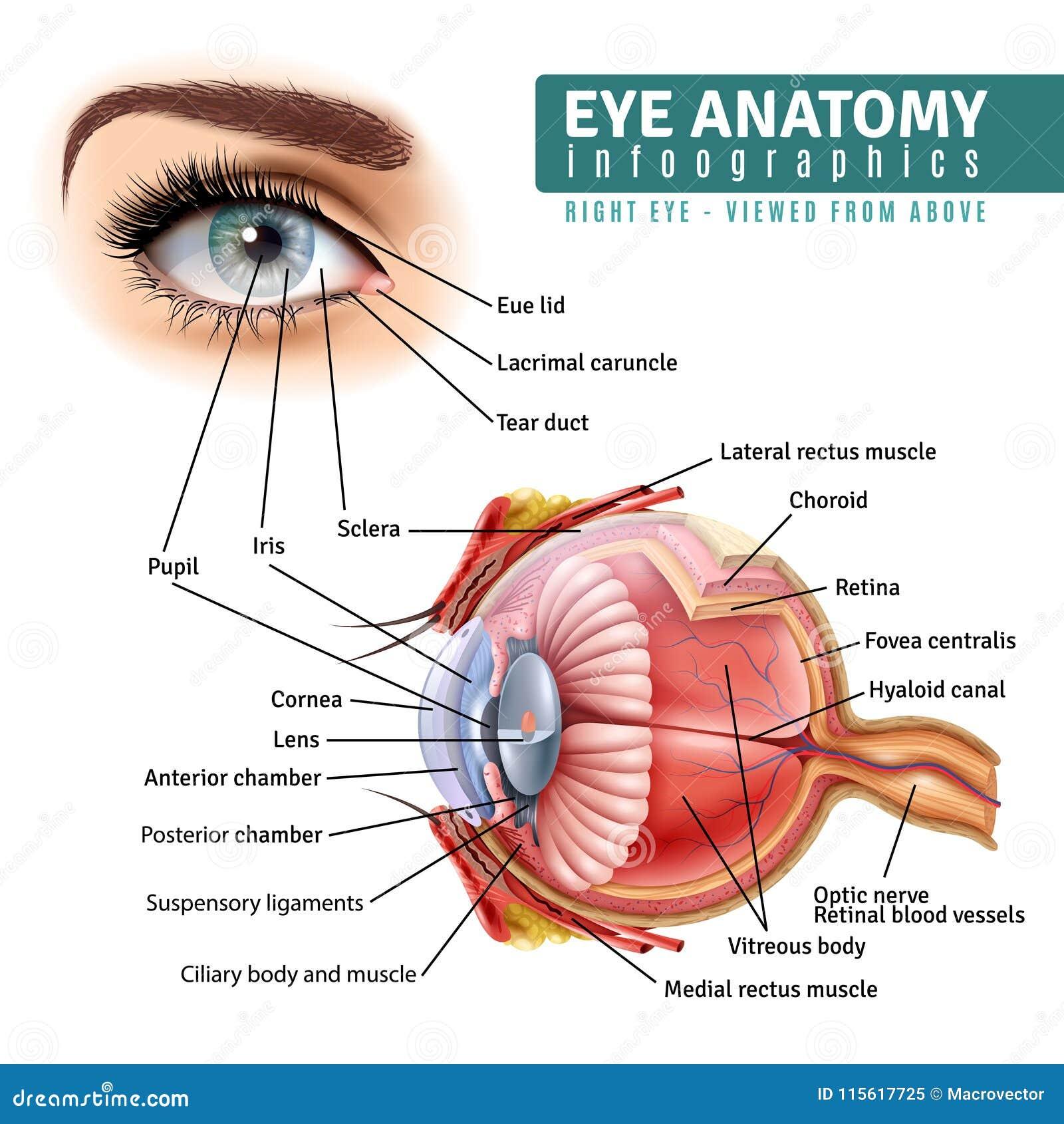 Realistische Augen-Anatomie Infographics Vektor Abbildung ...