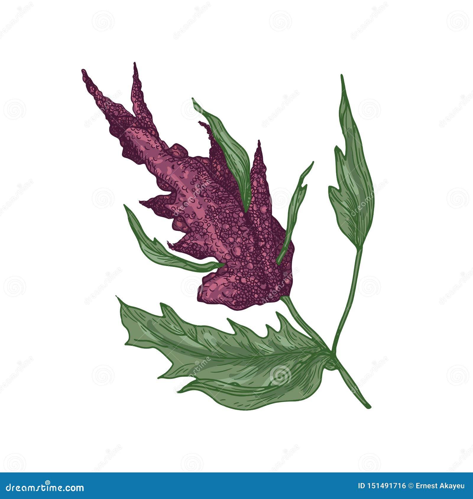 Realistyczny naturalny rysunek quinoa lub amarantowa roślina z kwitnienie kwiatostanem lub rośliną Jadalna zbożowa uprawa odizolo