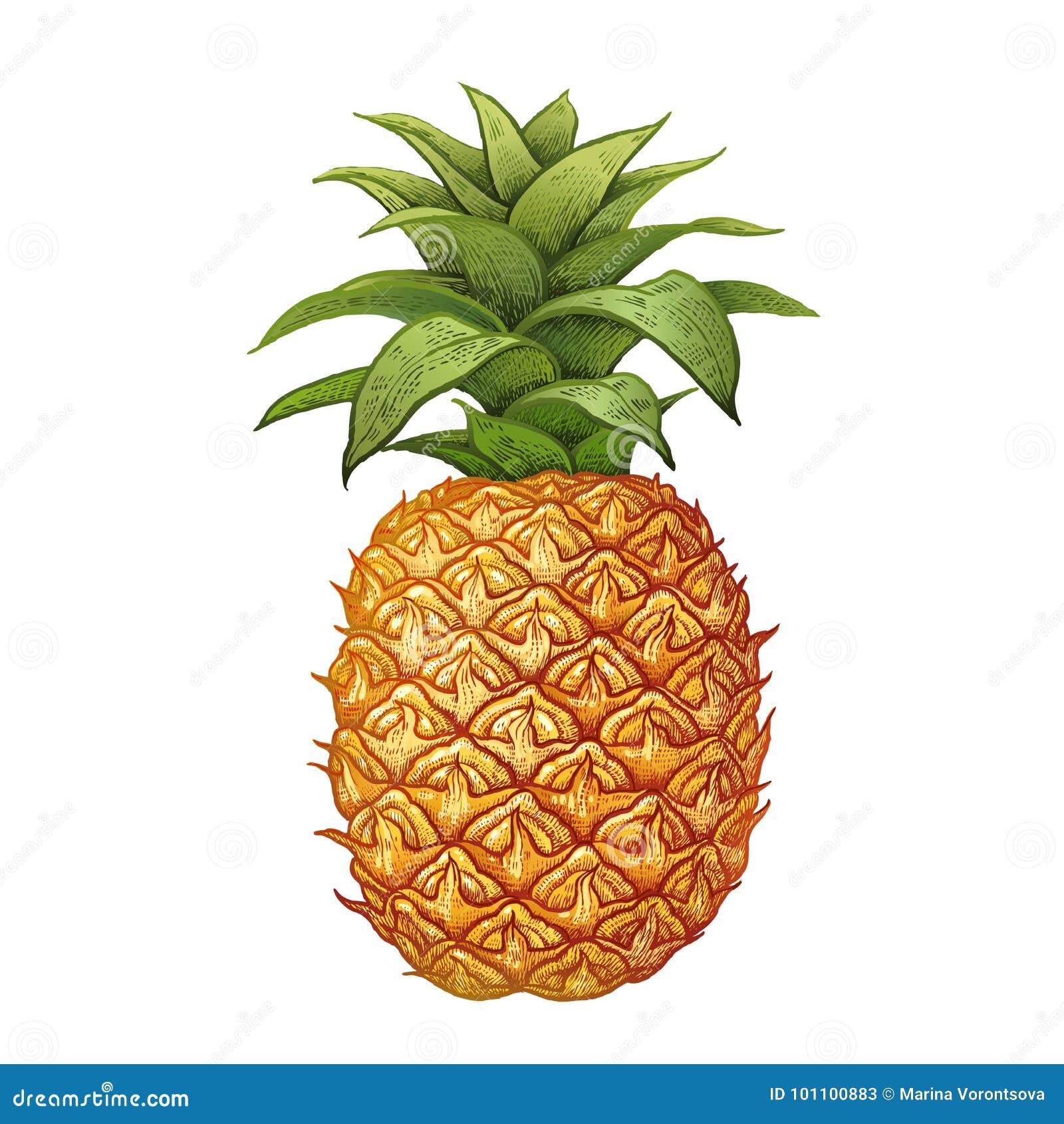 Ananas Rysunek realistyczny rysunek ananas ilustracja wektor - ilustracja
