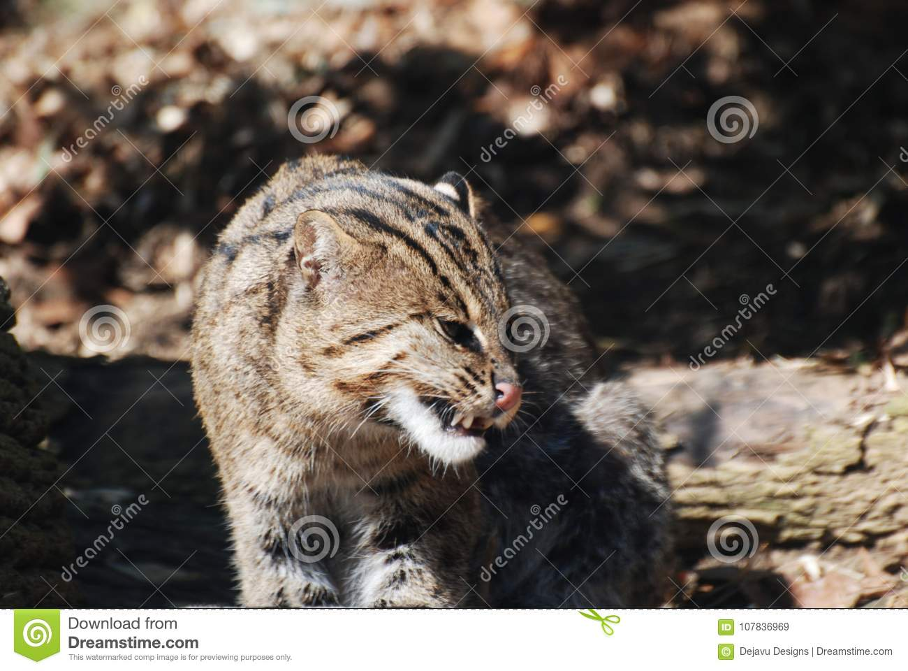 461 Fisher Cat Photos Free Royalty Free Stock Photos From Dreamstime