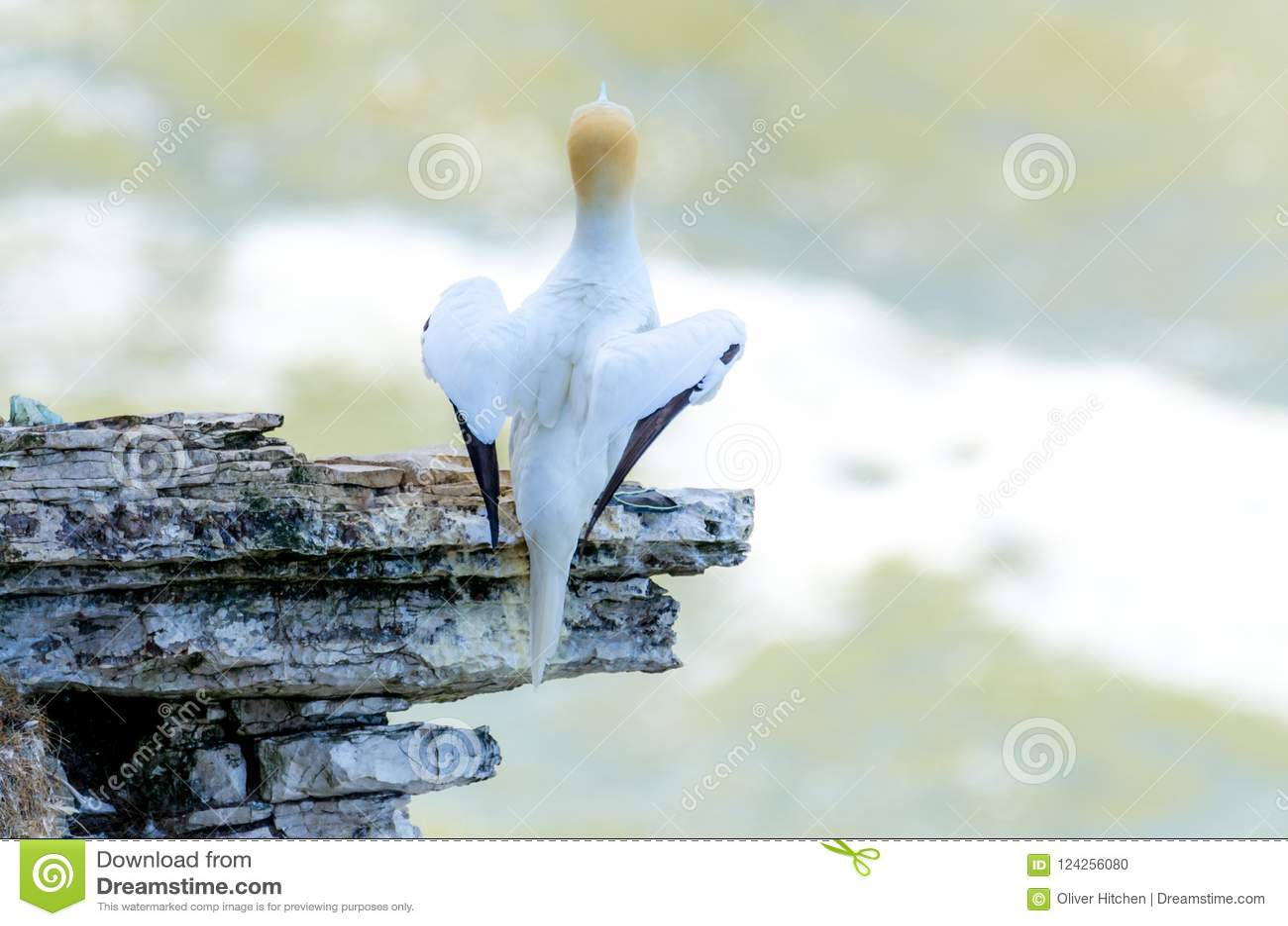 A rear view of an adult gannet bird nesting on a rocky outcrop