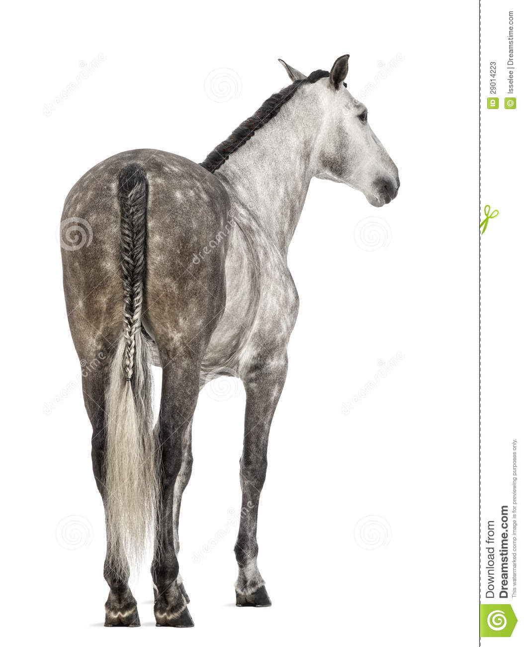 Rear view of an Andalusian, 7 years old, also known as the Pure Spanish Horse or PRE