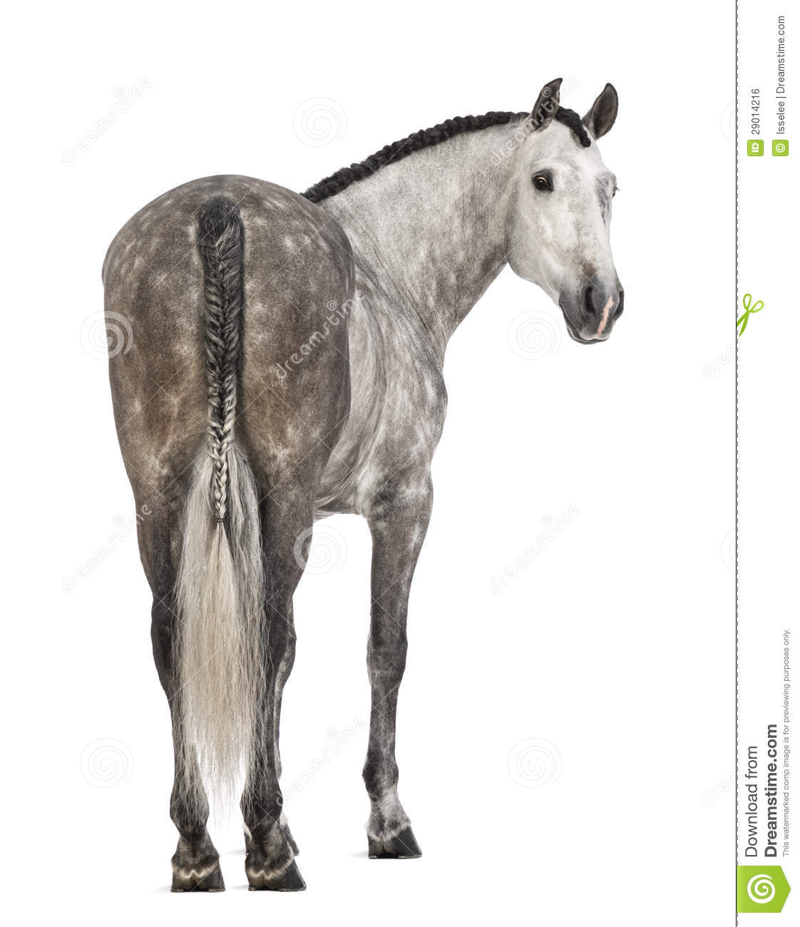 Rear view of an Andalusian, 7 years old, looking back, also known as the Pure Spanish Horse or PRE