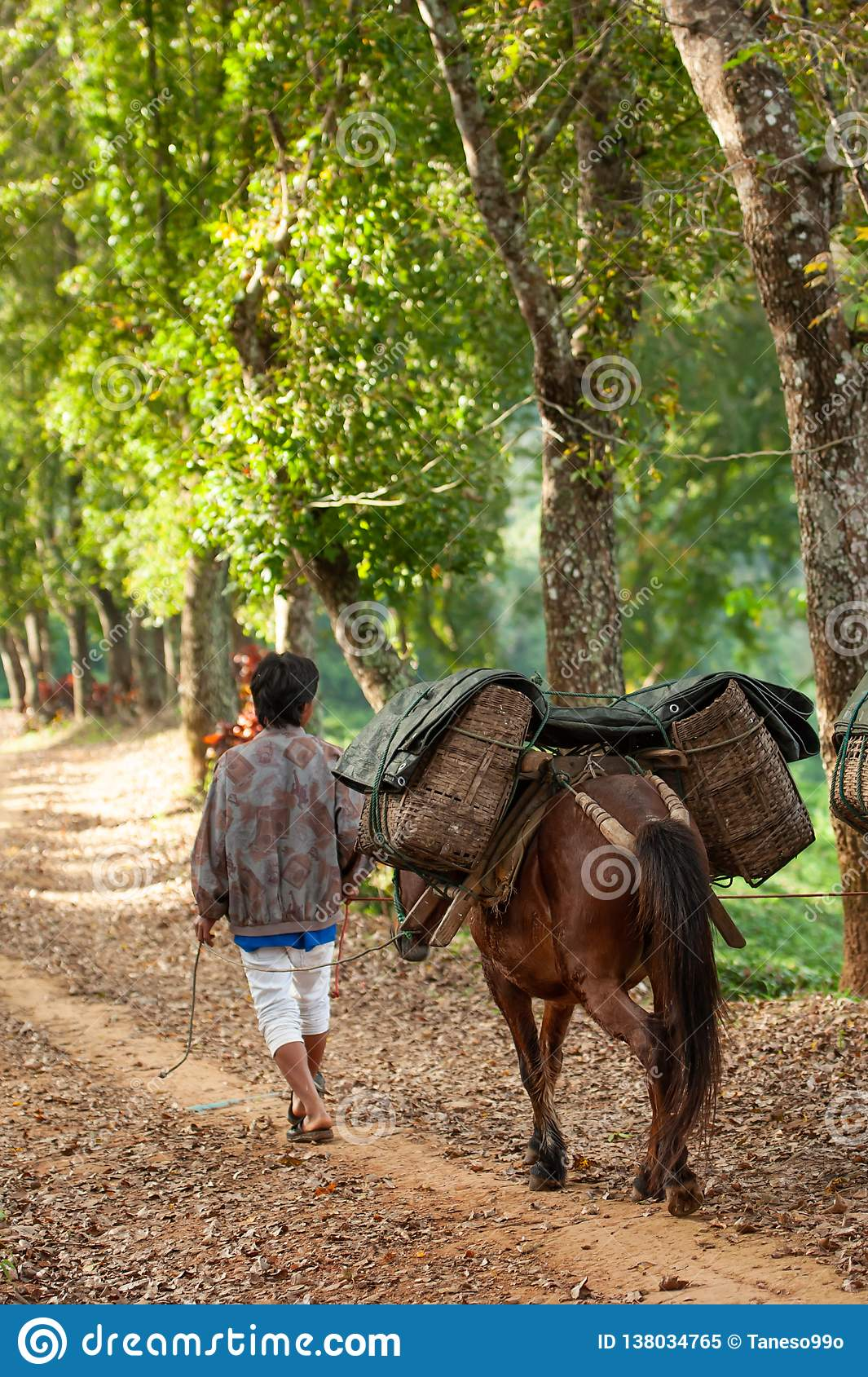 Rear view of farmer with horse carrying wicker baskets on the way to the tea field. Horse transporting. Doi Mae Salong, Mae Fa