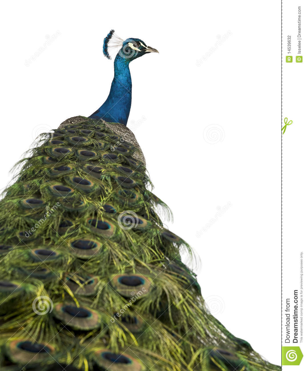 Rear view of a male Indian Peafowl