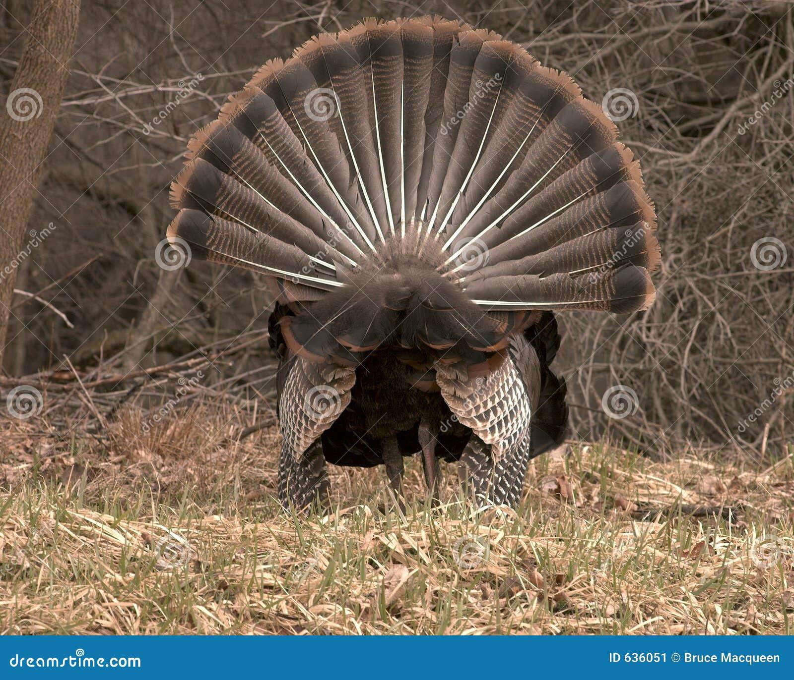 Rear View Turkey Strut