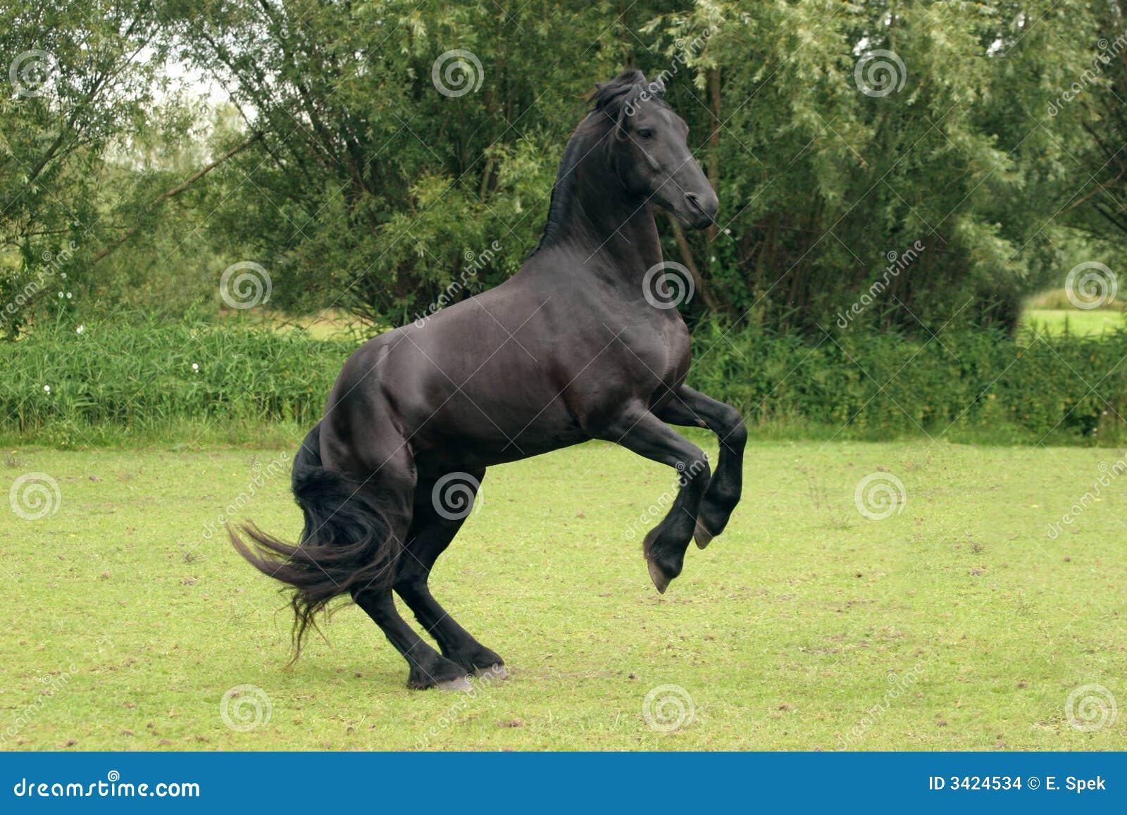 Rearing Black Horse Stock Images - Image: 3424534