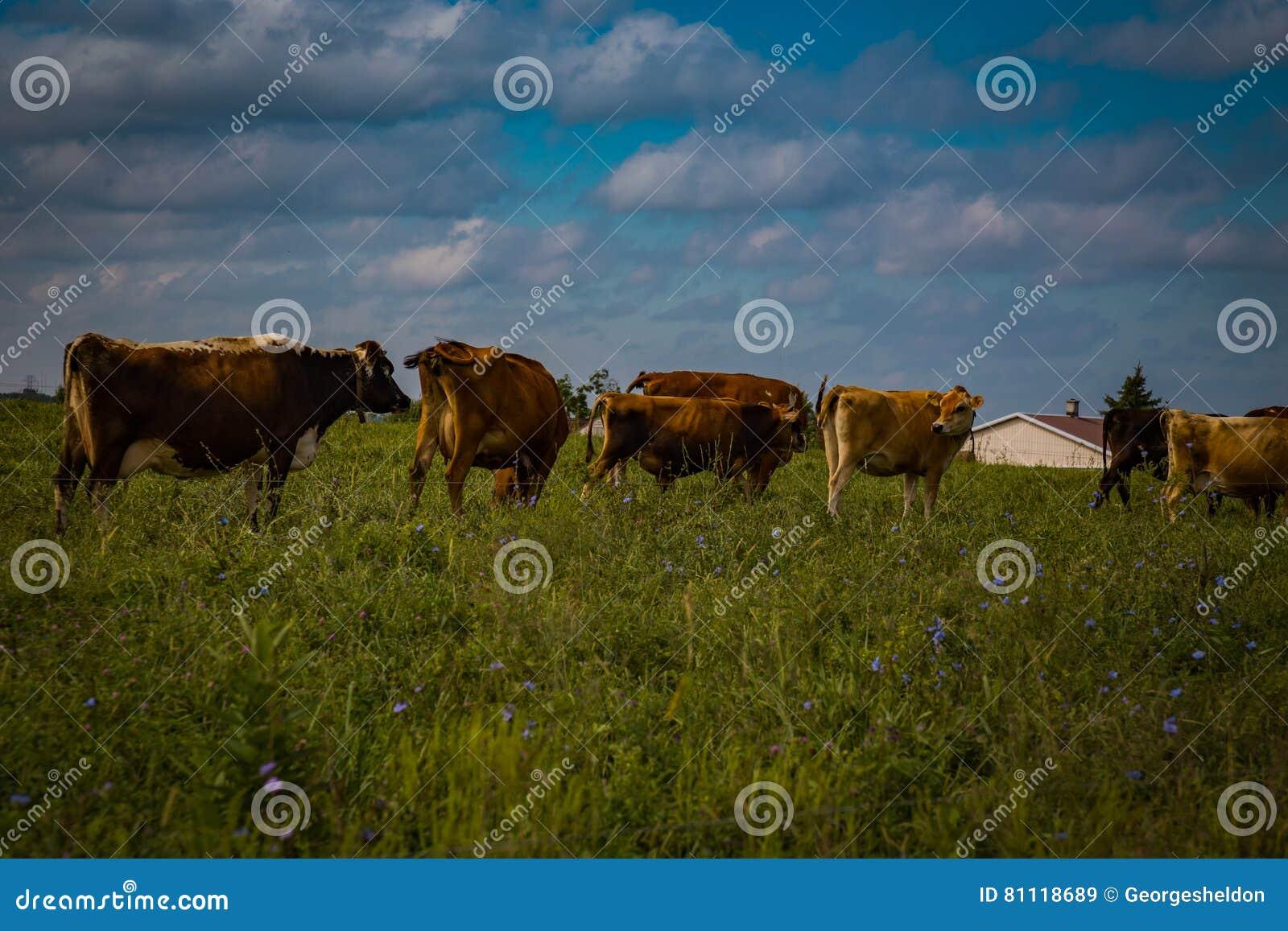Rebaño lechero de Amish en campo