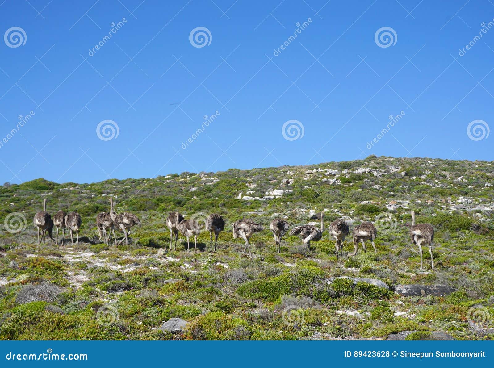 Rebanho da avestruz que está no monte