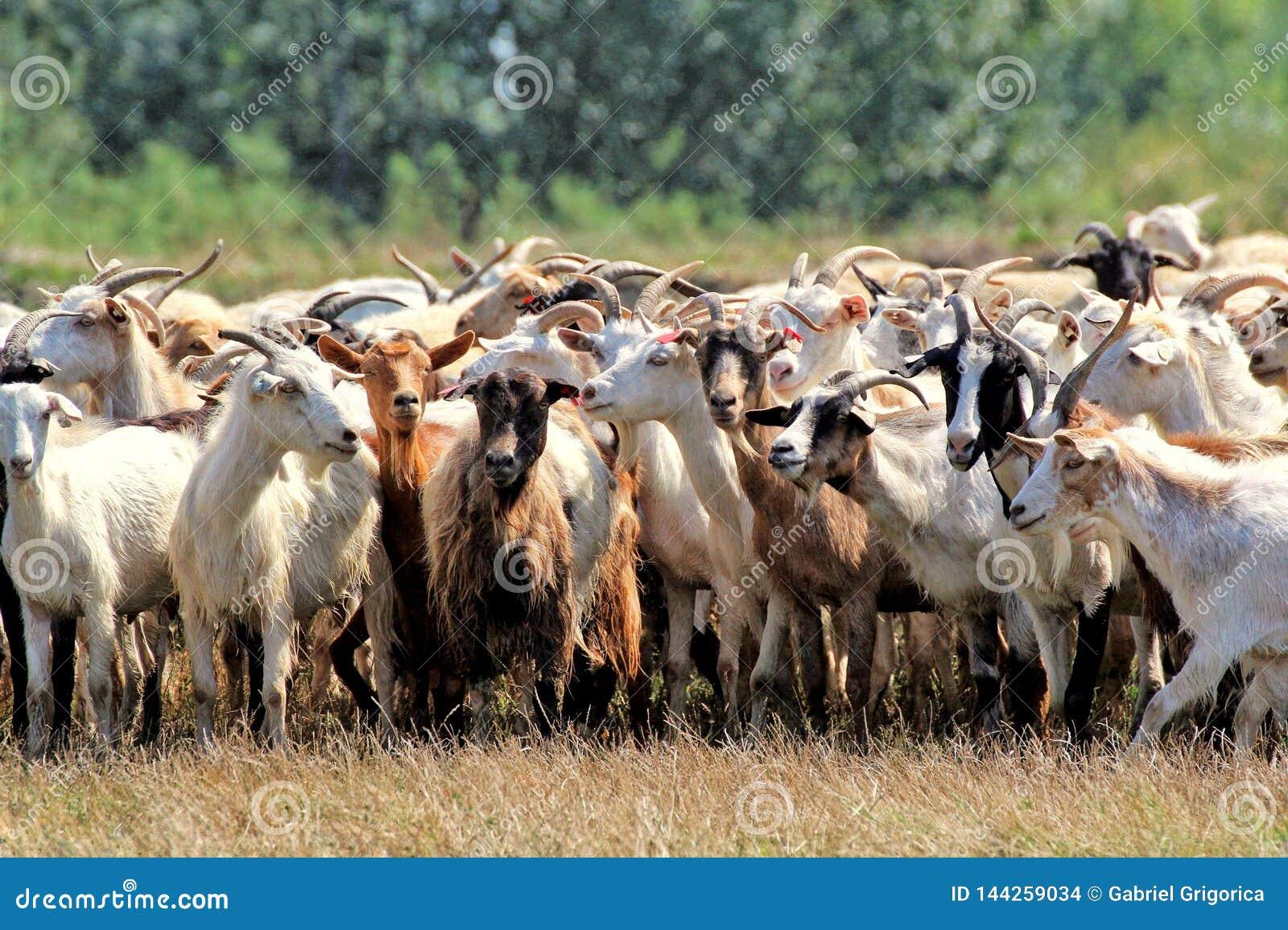 Rebanho da cabra no pasto