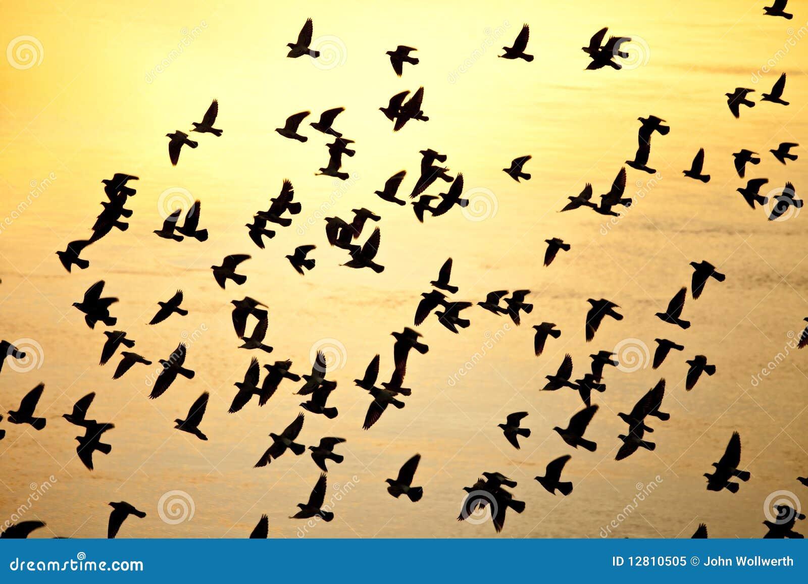 Rebanho da silhueta dos pássaros
