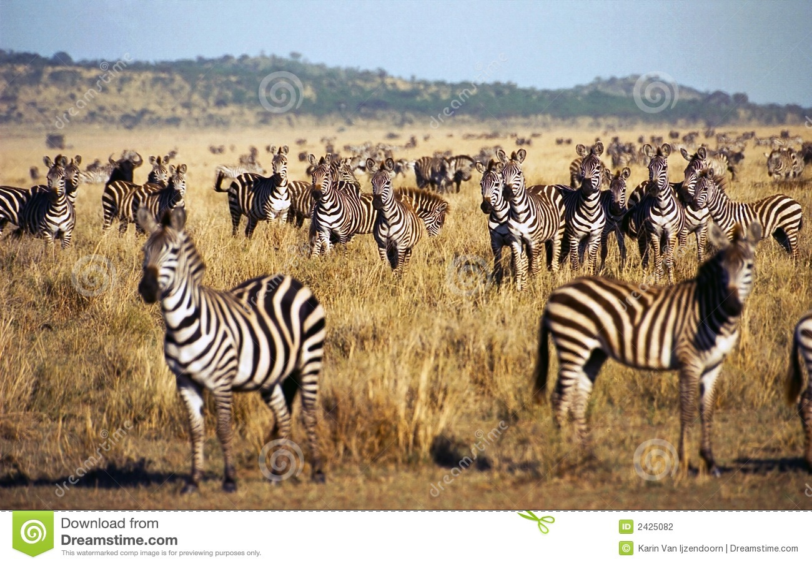 Rebanho da zebra durante a migração