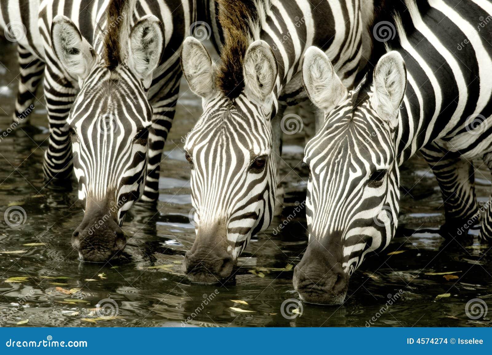 Rebanho da zebra no Masai mara Kenya