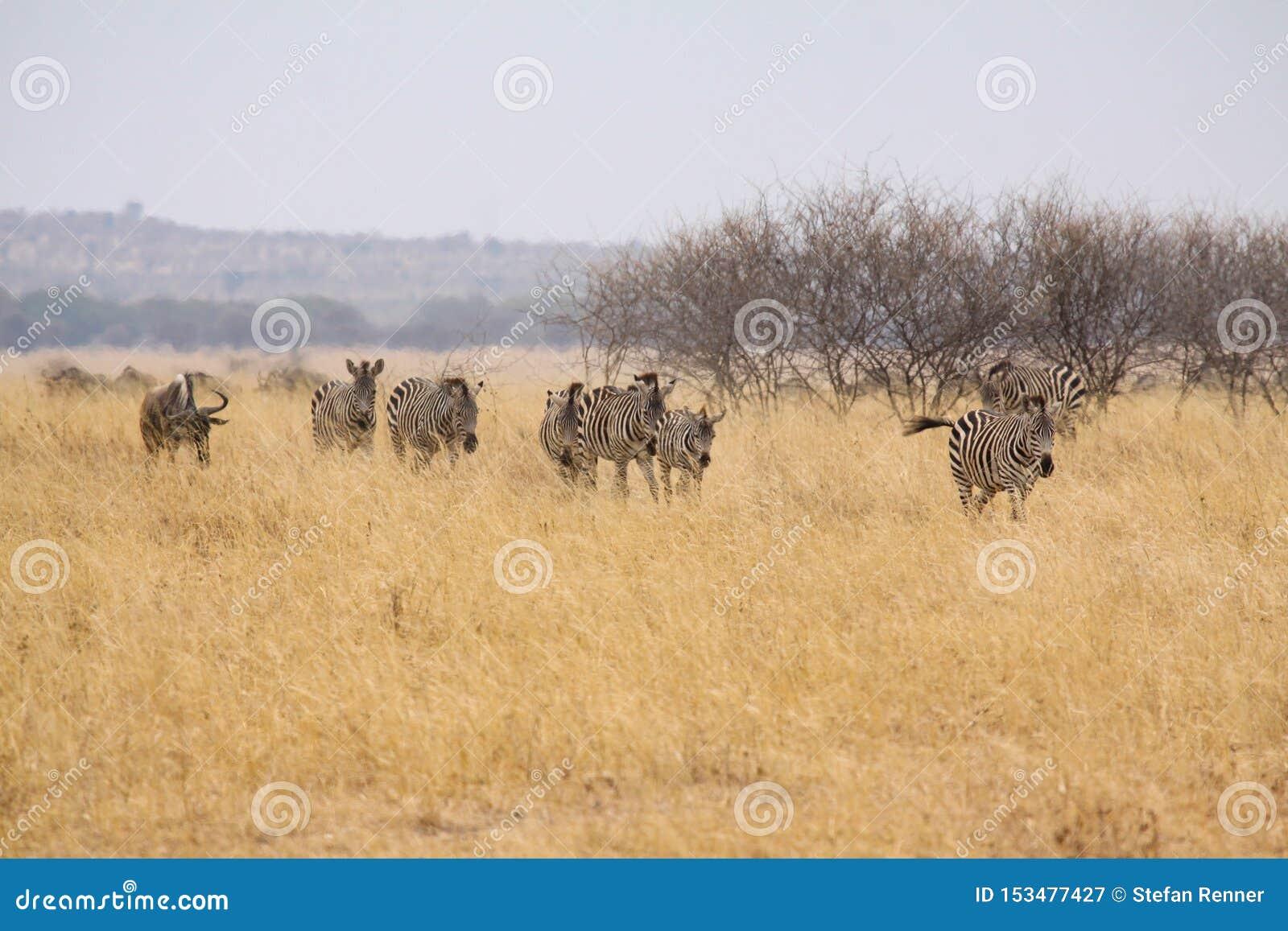 Rebanho da zebra