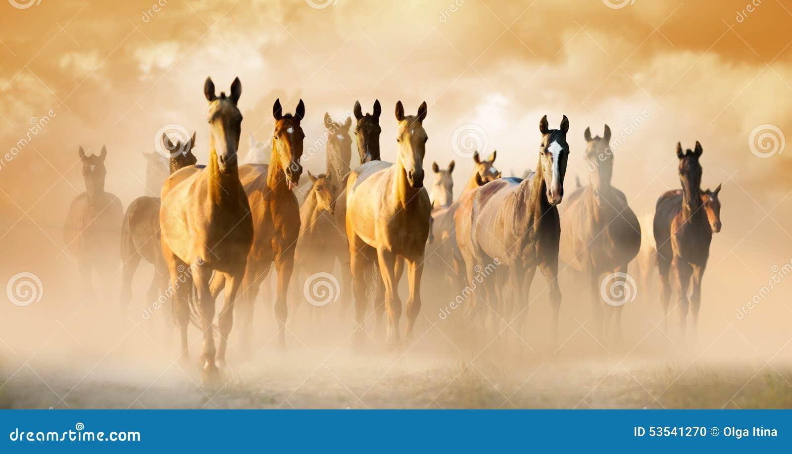 Rebanho de cavalos do akhal-teke na poeira que corre para pastar