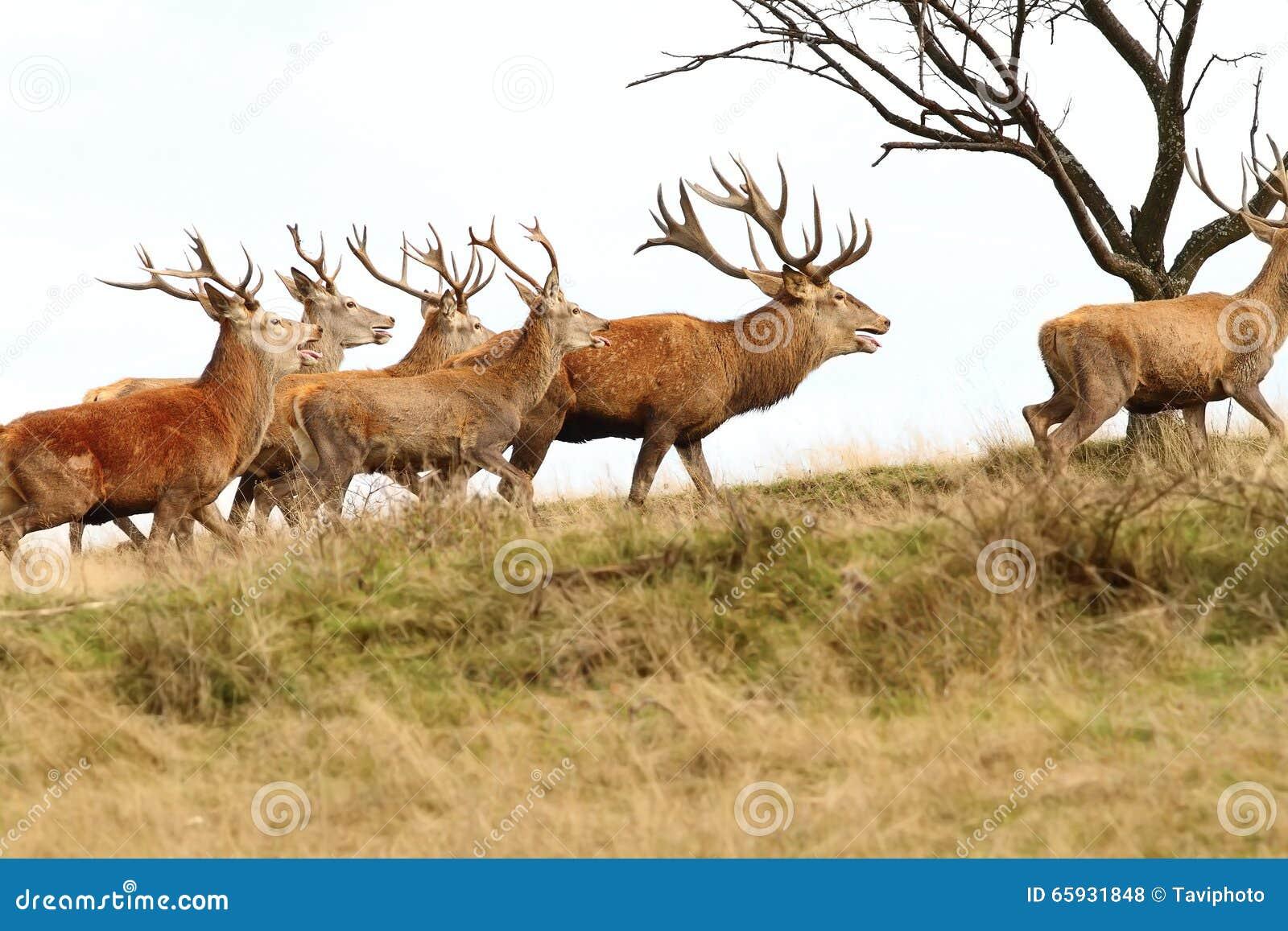 Rebanho de cervos vermelhos no monte
