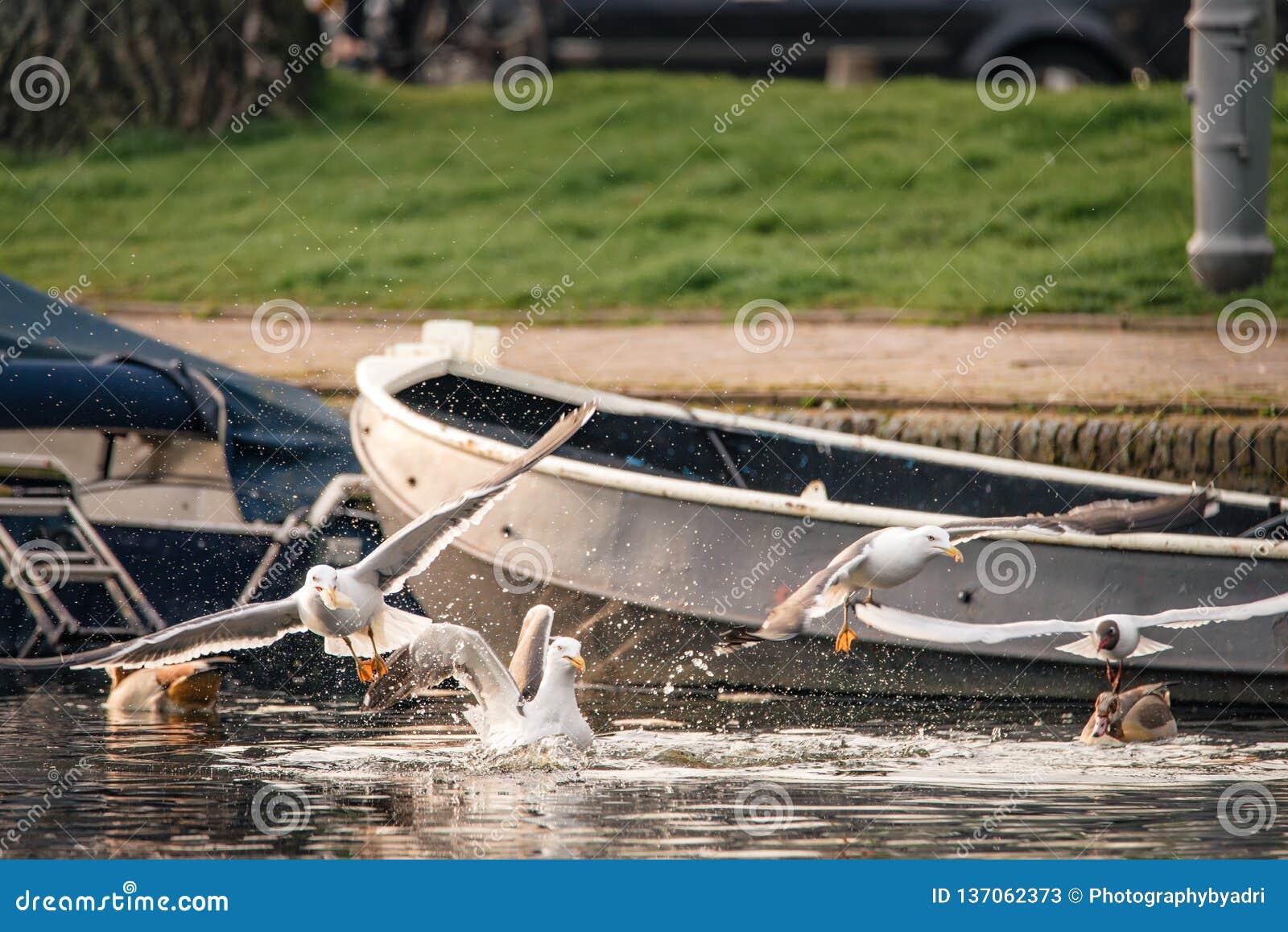 Rebanho de lutas das gaivota sobre o pão jogado em um canal em Amsterdão, os Países Baixos