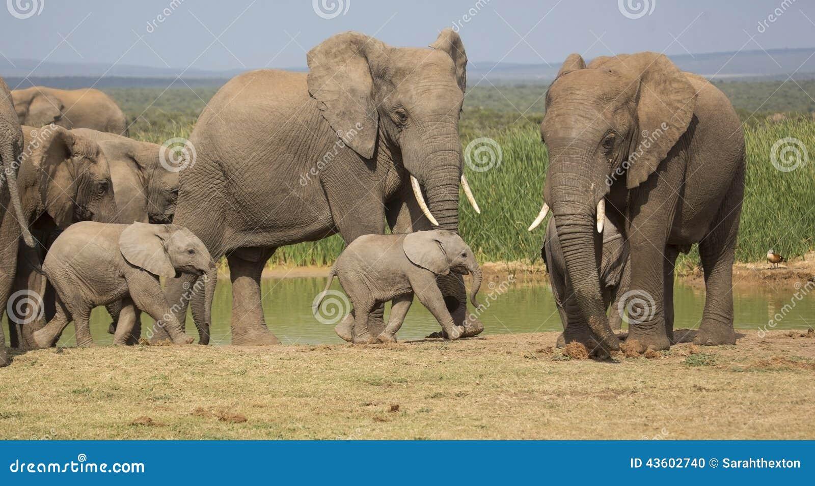 Rebanho do elefante com os 2 bebês minúsculos
