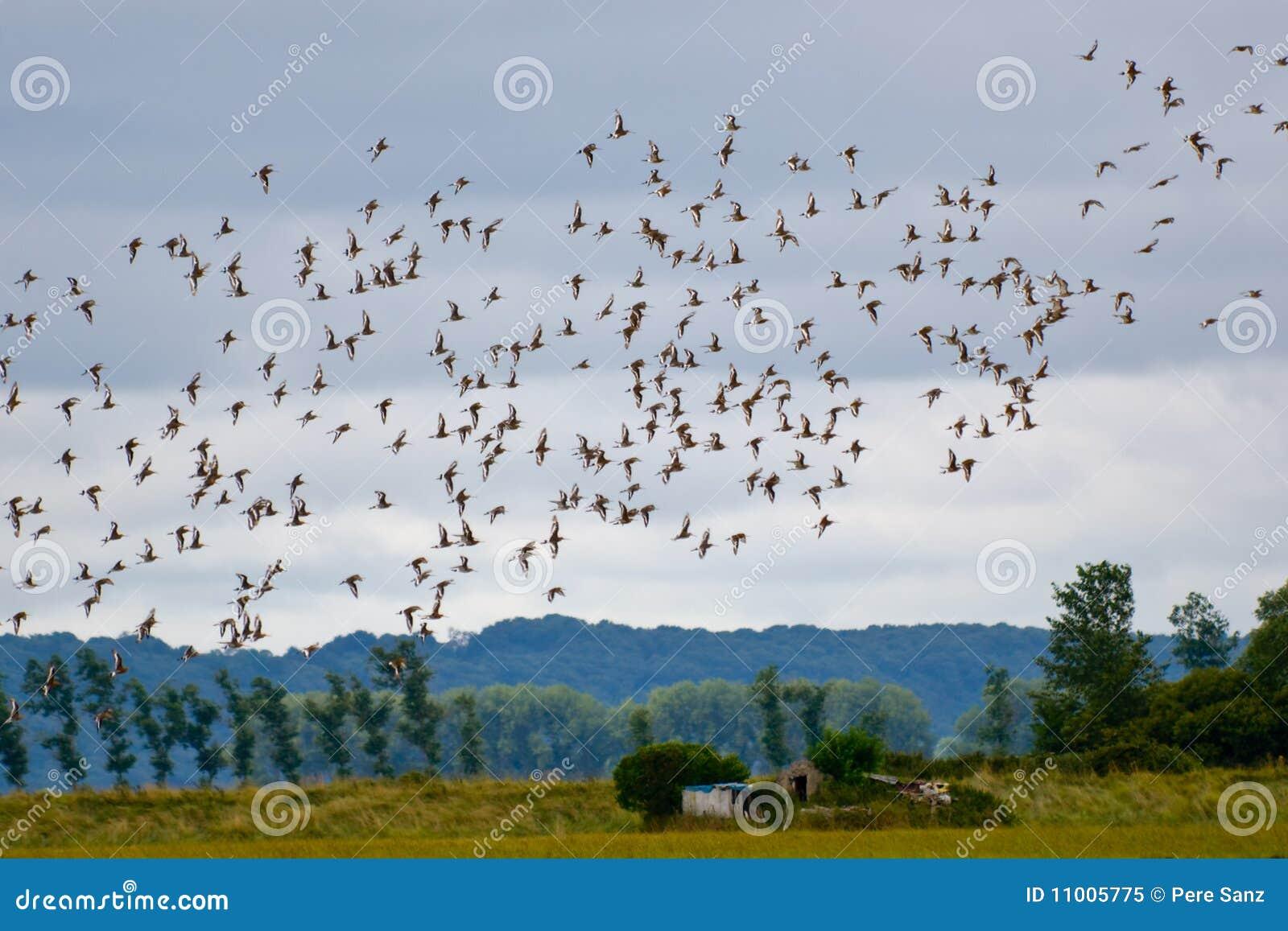 Rebanho do voo dos pássaros