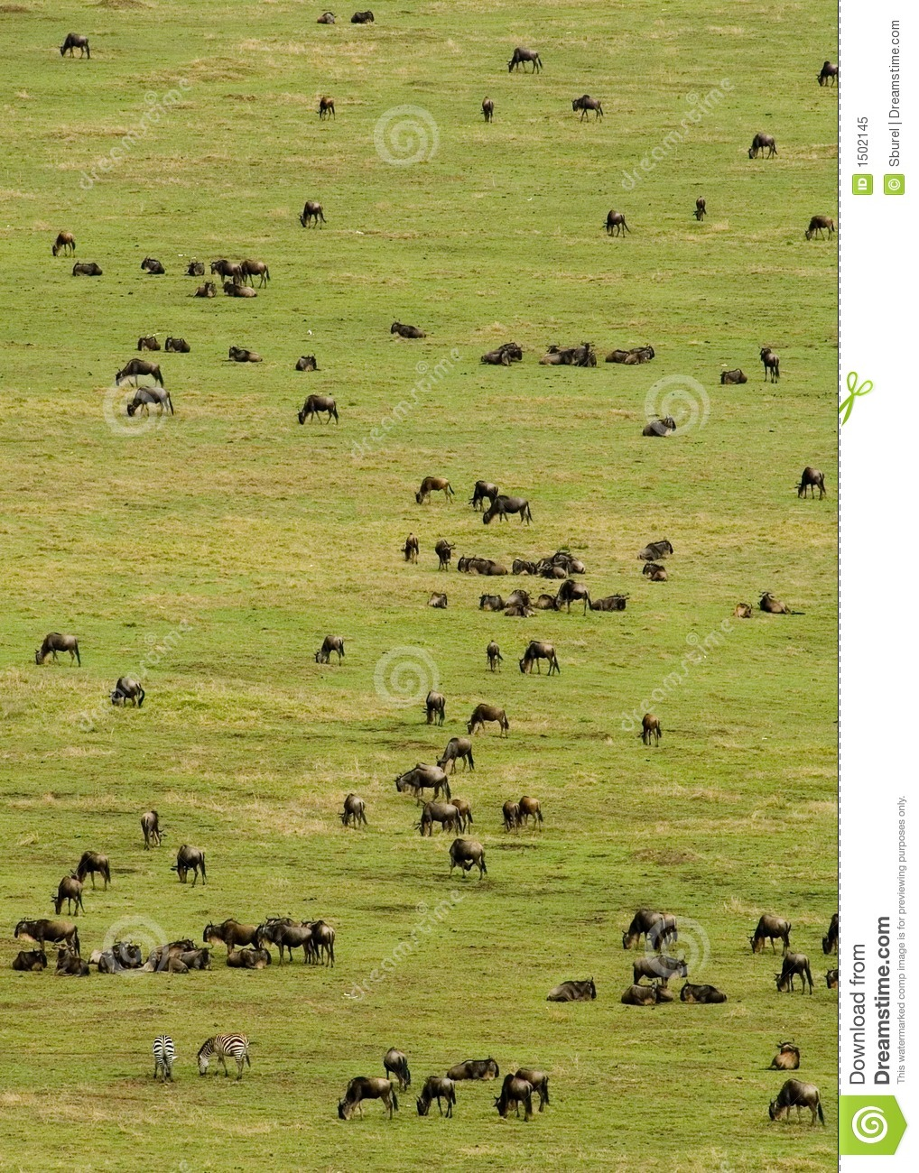 Rebanho do Wildebeest
