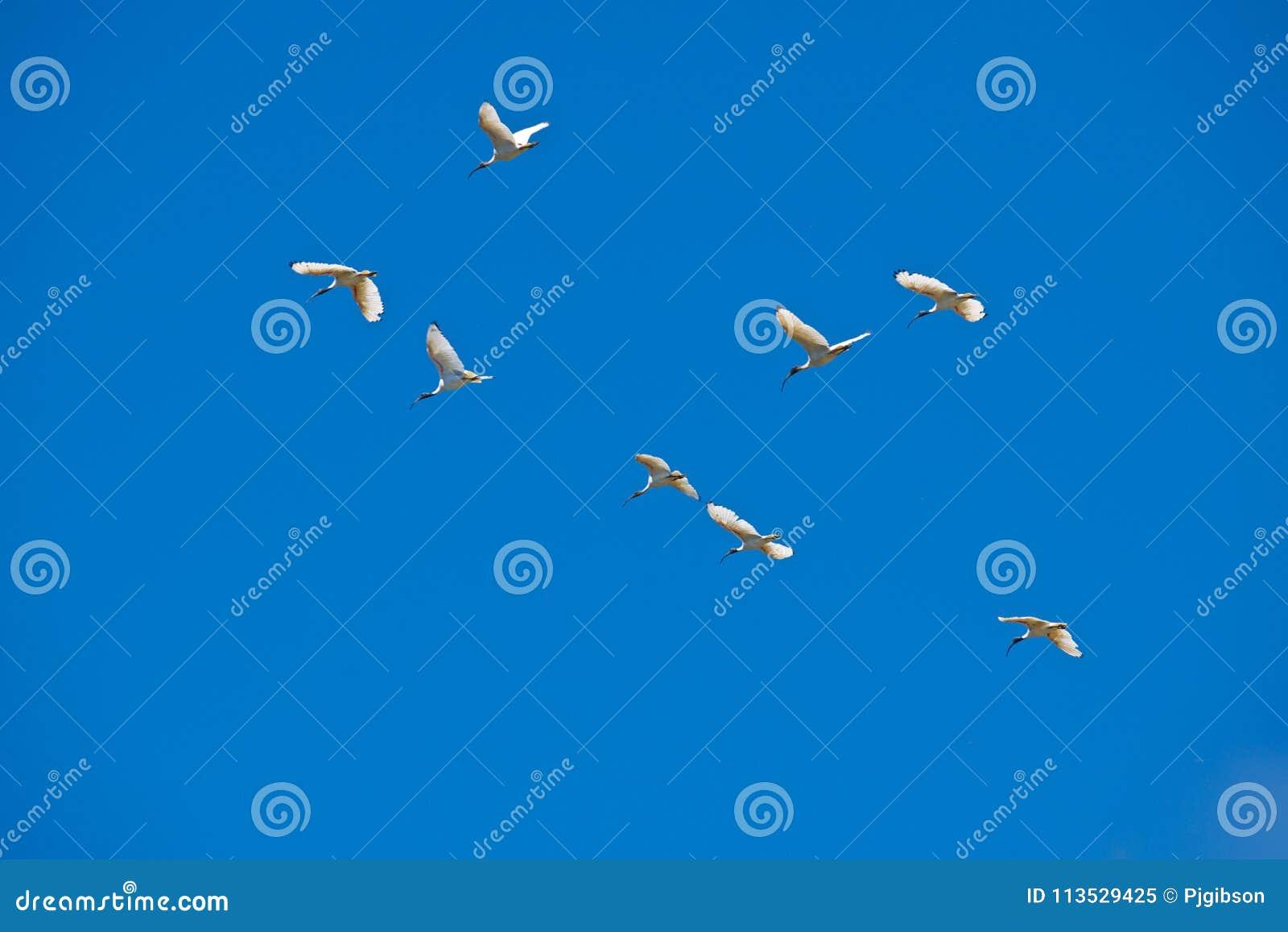 Rebanho dos íbis, Austrália
