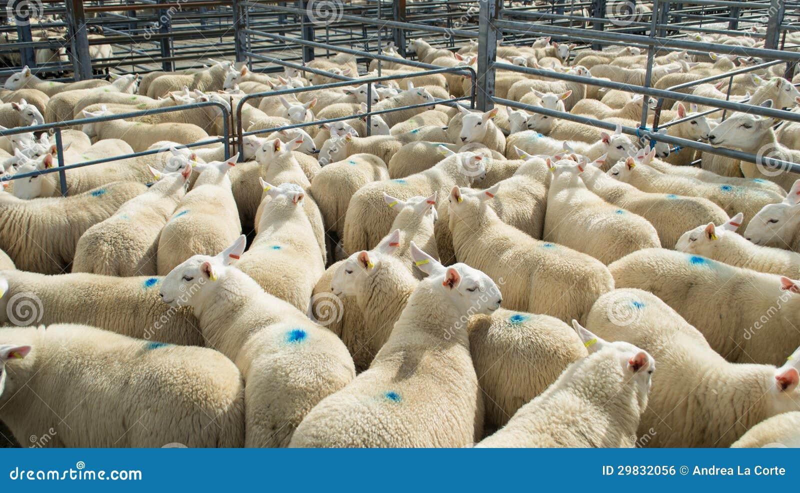 Rebanho dos carneiros em uma cerca