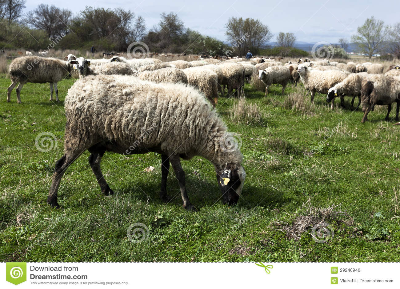Download Rebanho Dos Carneiros No Campo Foto de Stock - Imagem de prado, carne: 29246940