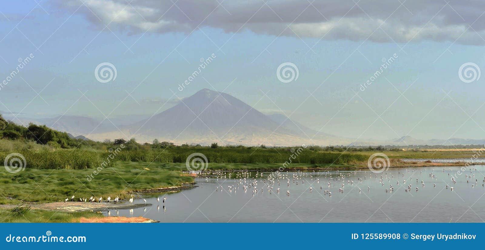 Rebanho dos flamingos em voo Os flamingos voam sobre o lago Natron Volcano Langai no fundo Pouco flamingo Na científico
