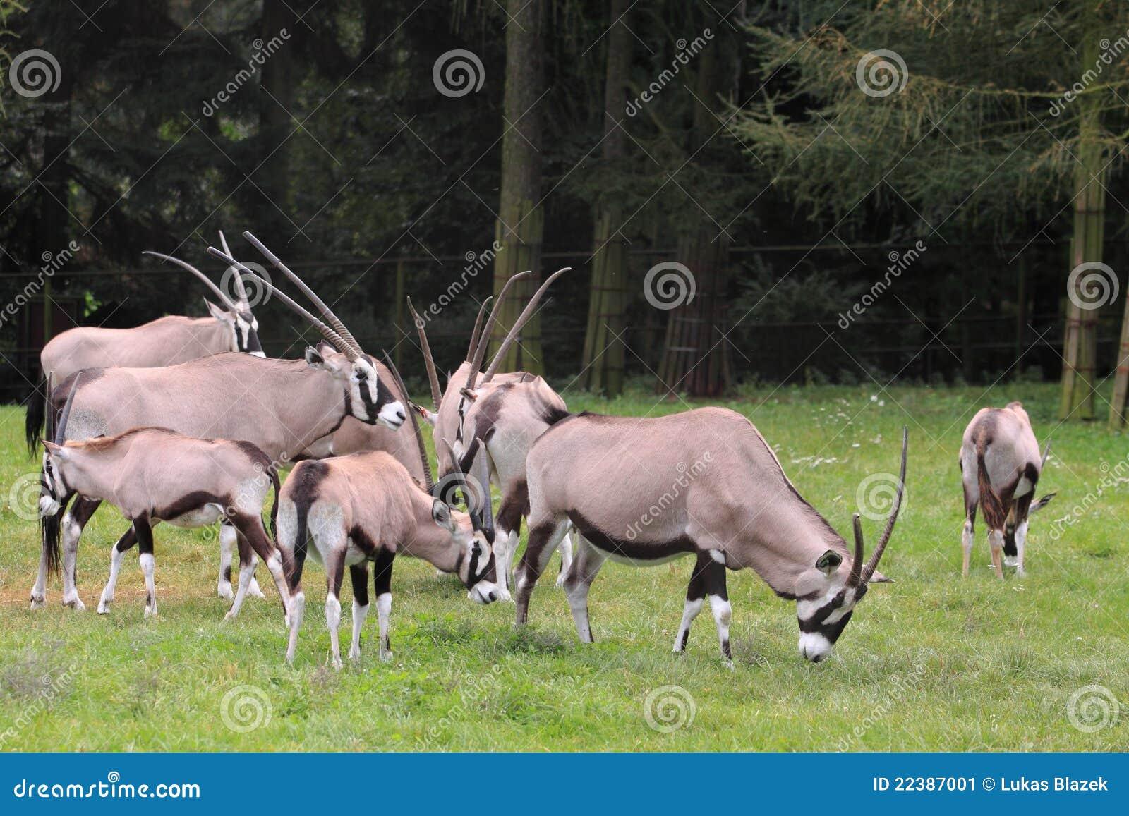 Rebanho dos gemsboks