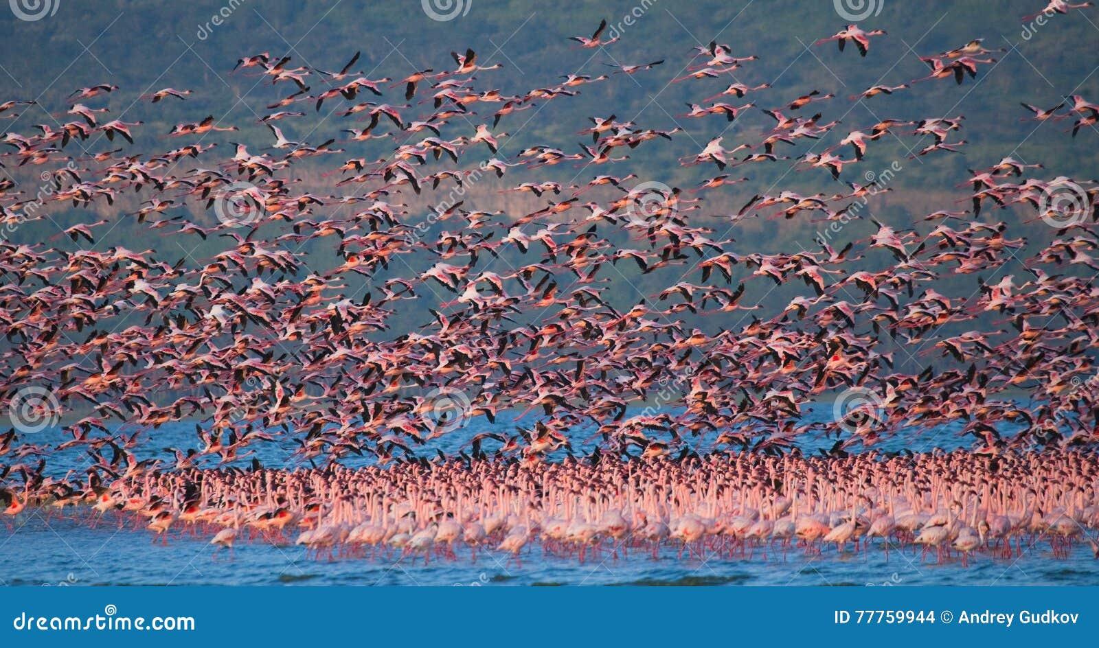 Rebanho enorme da descolagem dos flamingos kenya África Nakuru National Park Reserva nacional de Bogoria do lago