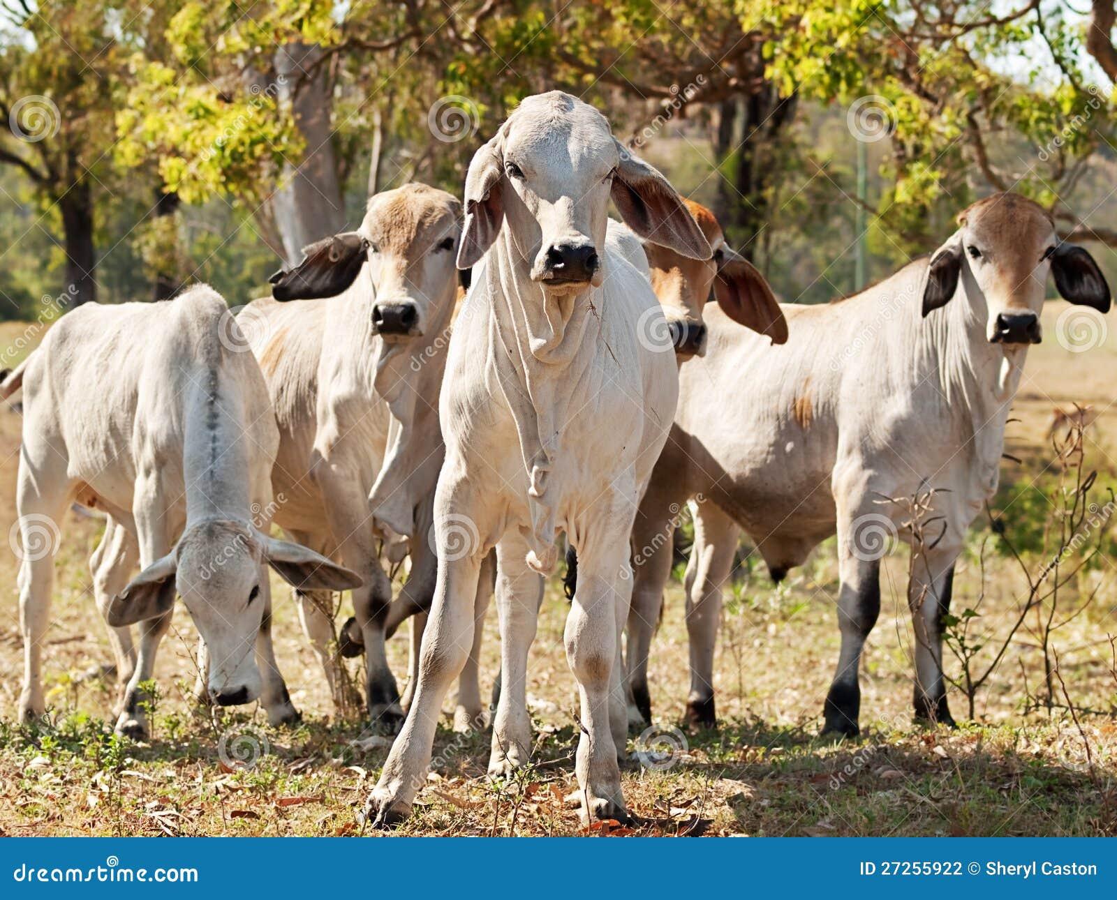 Rebanho novo do Brahman em gados bovinos australianos do rancho