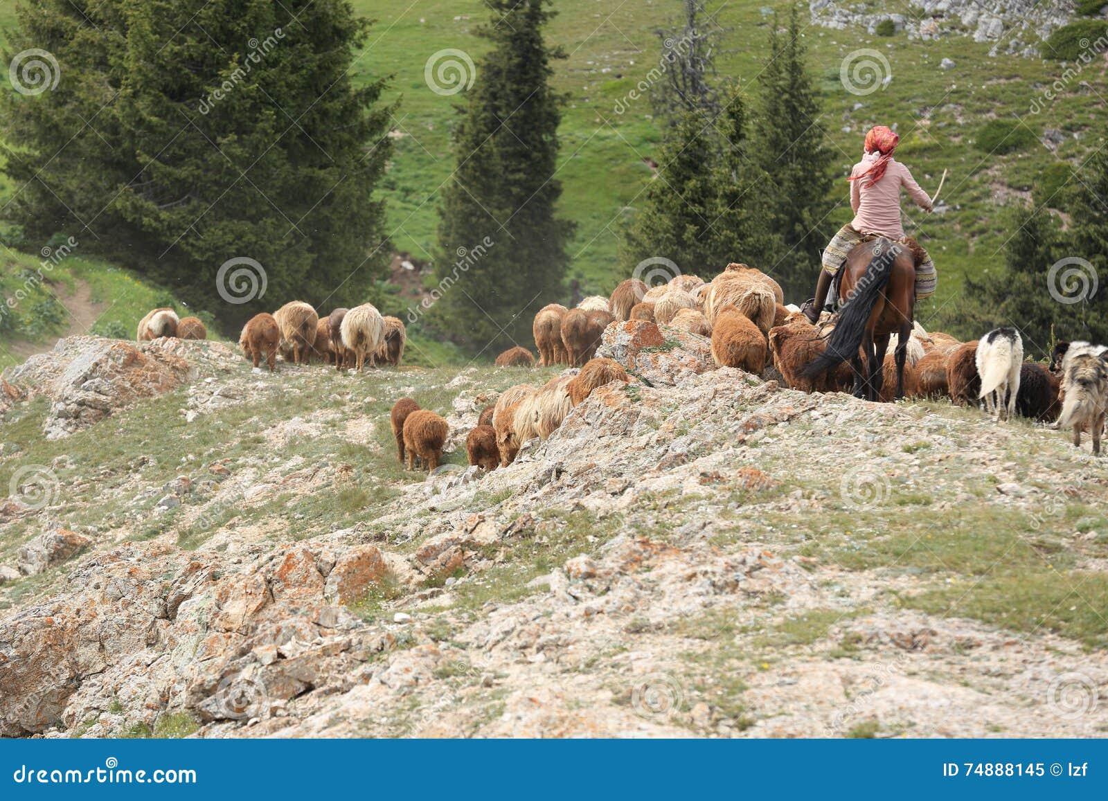 Rebanhos dos carneiros no campo