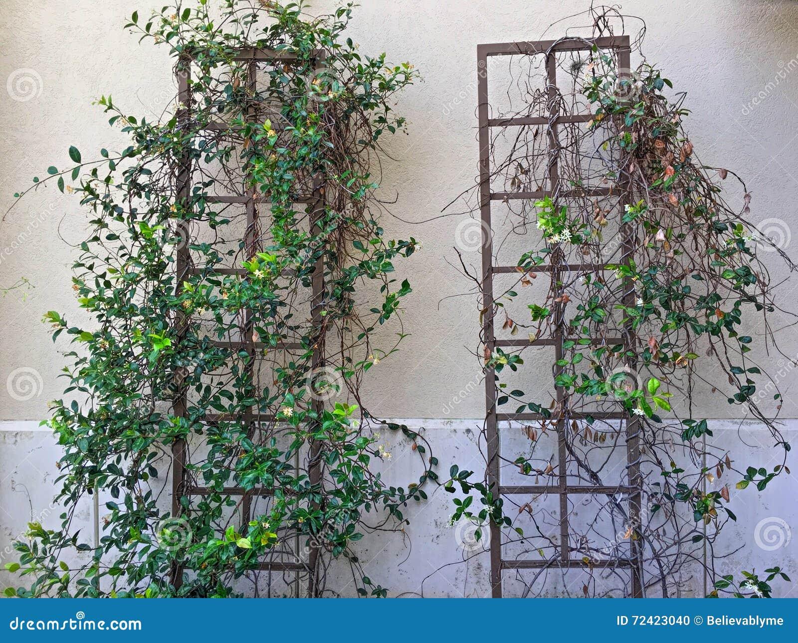 Rebe Und Blätter Auf Gestell-Rahmen Stockfoto - Bild von verwirrt ...