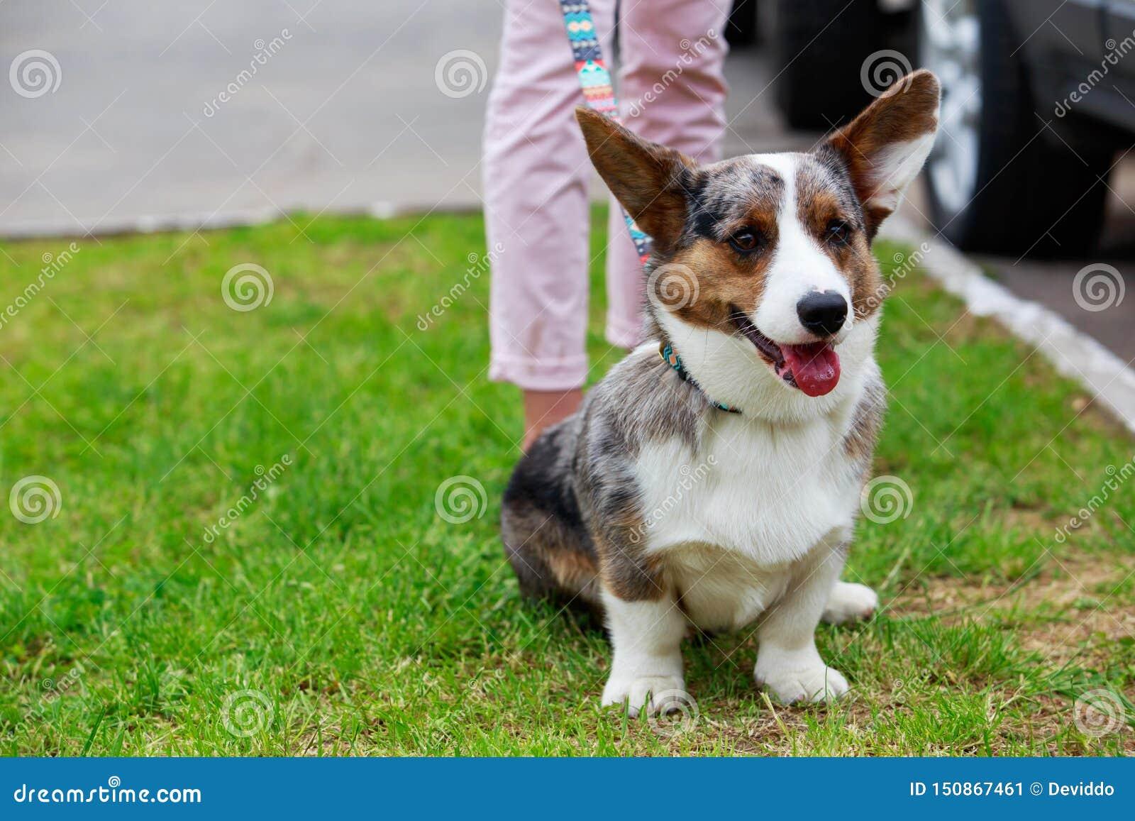 Rebeca del Corgi Gal?s de la raza del perro
