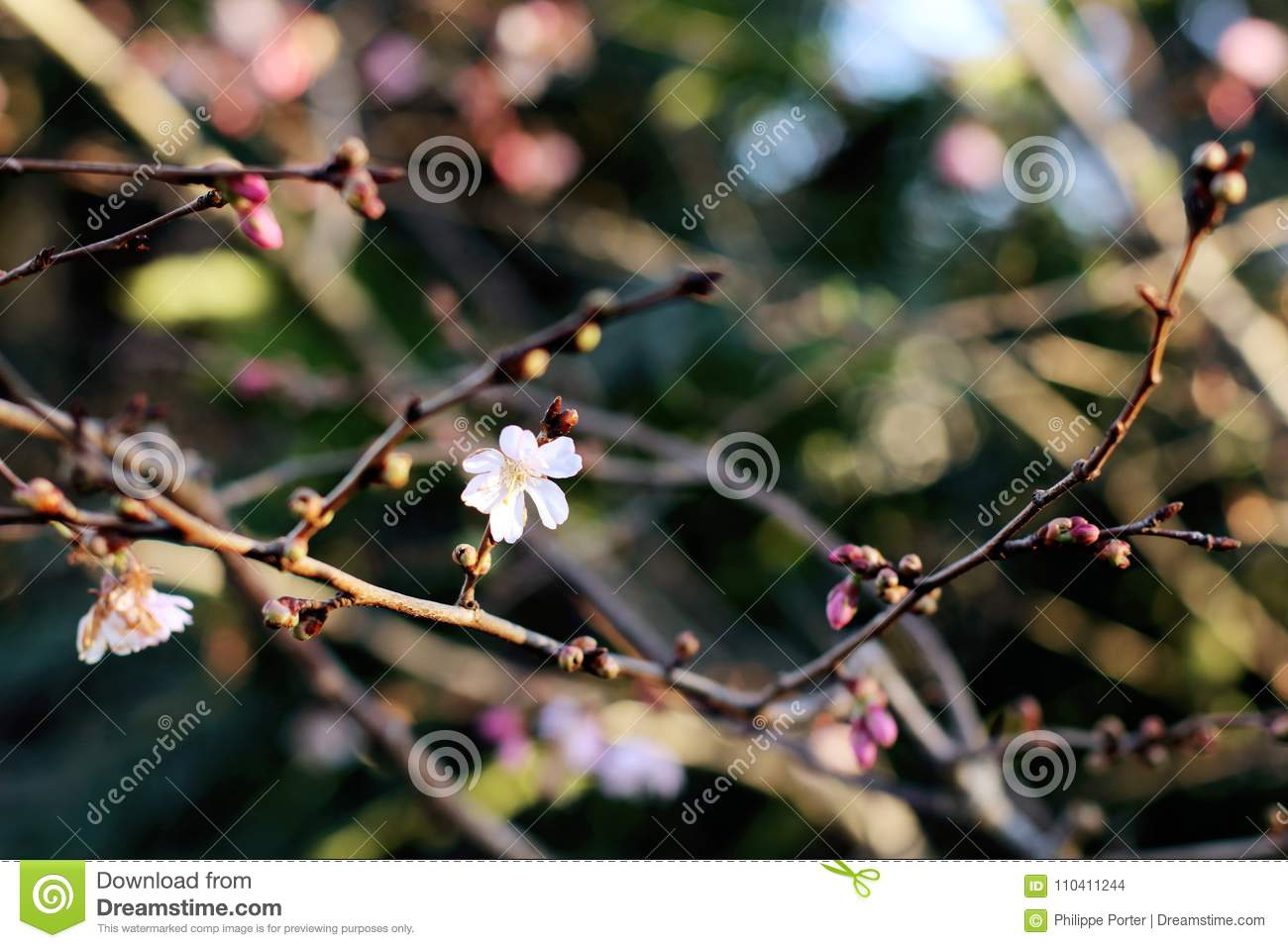 Floral Bud Opening First Spring Flowers In The Trees Stock Photo