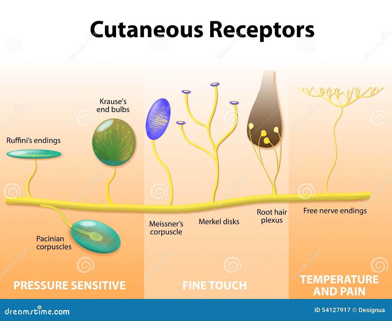 Receptores Sensoriales En La Piel Humana Ilustración del Vector ...