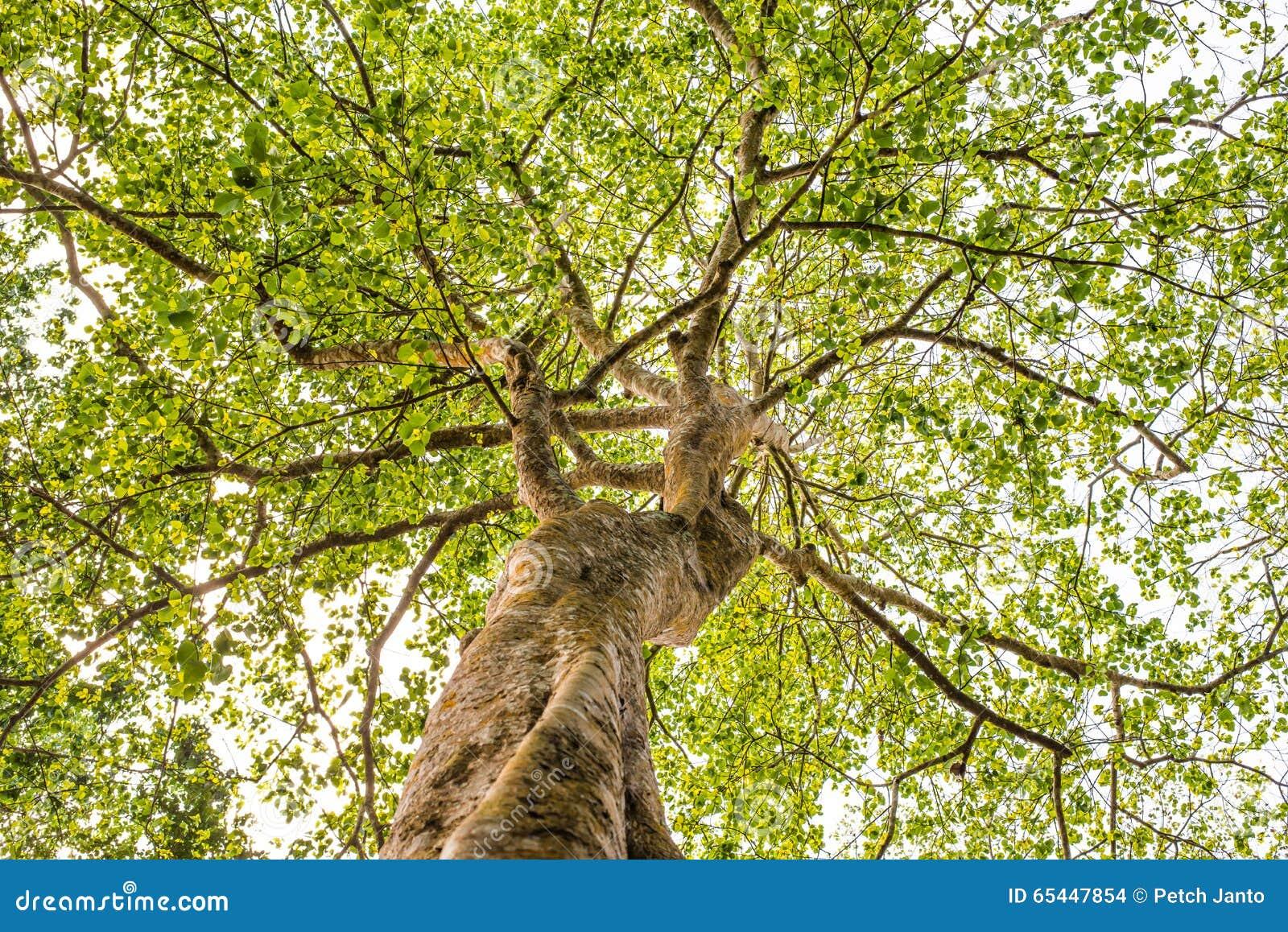 recherchant de dessous la vue l 39 arbre photo stock image du ext rieur fond 65447854. Black Bedroom Furniture Sets. Home Design Ideas