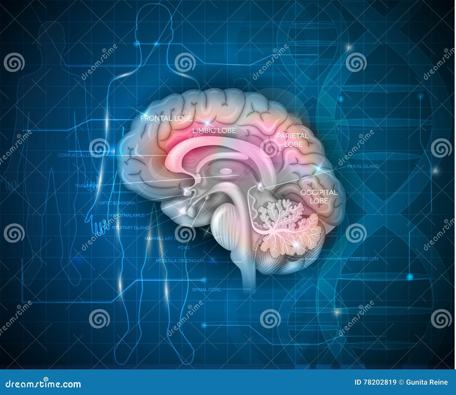 Recherche de cerveau humain
