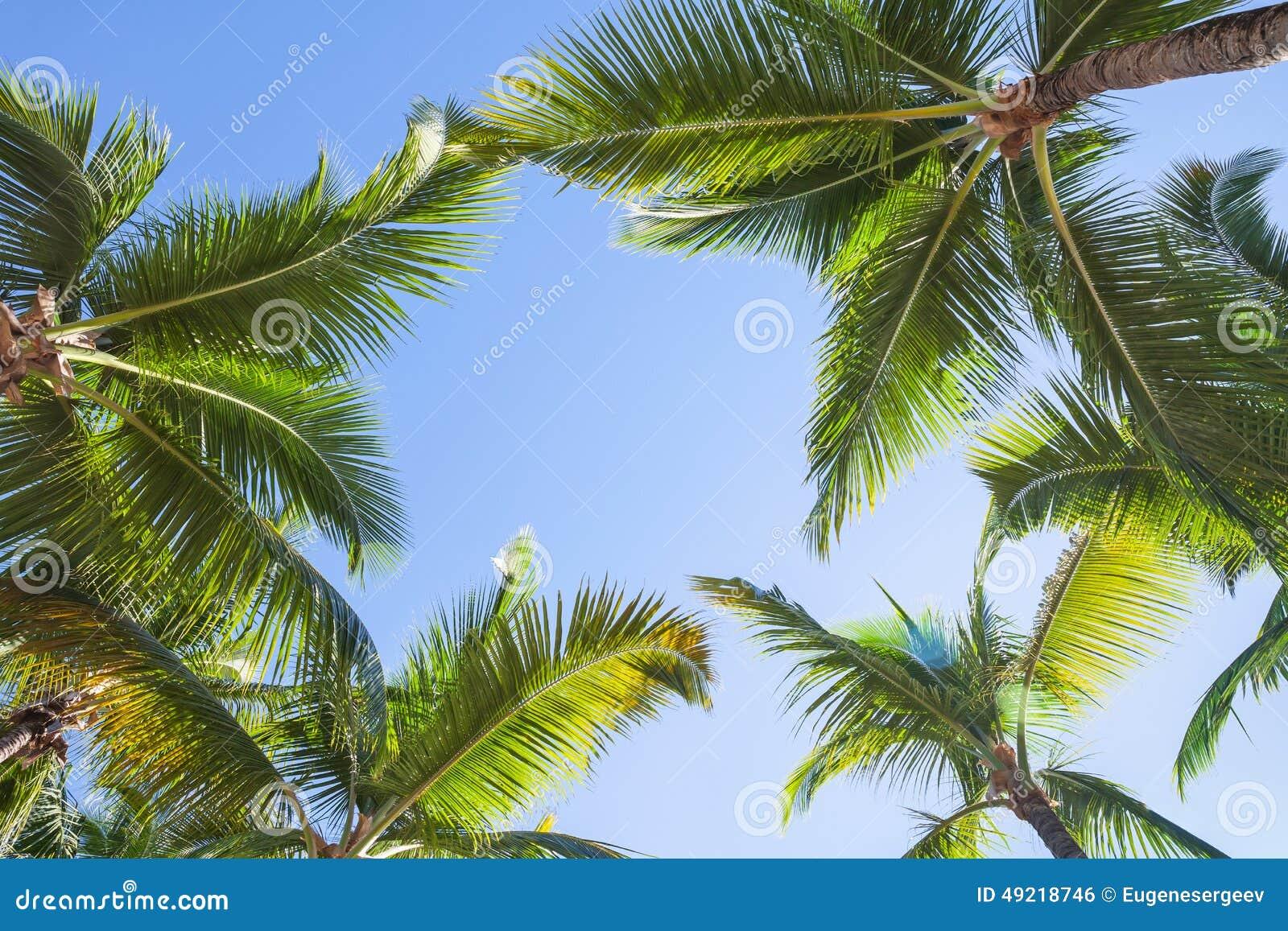 Recherche sur des palmiers de noix de coco au dessus de - Palmier noix de coco ...