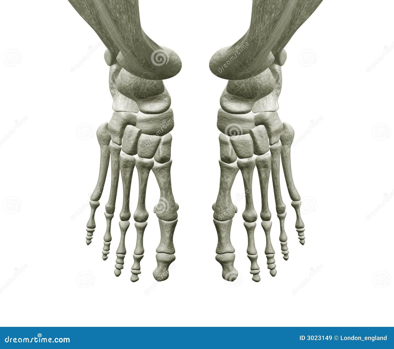 Rechter Und Linker Fuß-Knochen Stock Abbildung - Illustration von ...