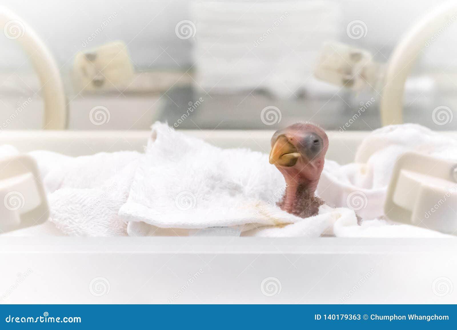 Recién nacido de poco loro en un fondo de la incubadora de la granja Trama del animal