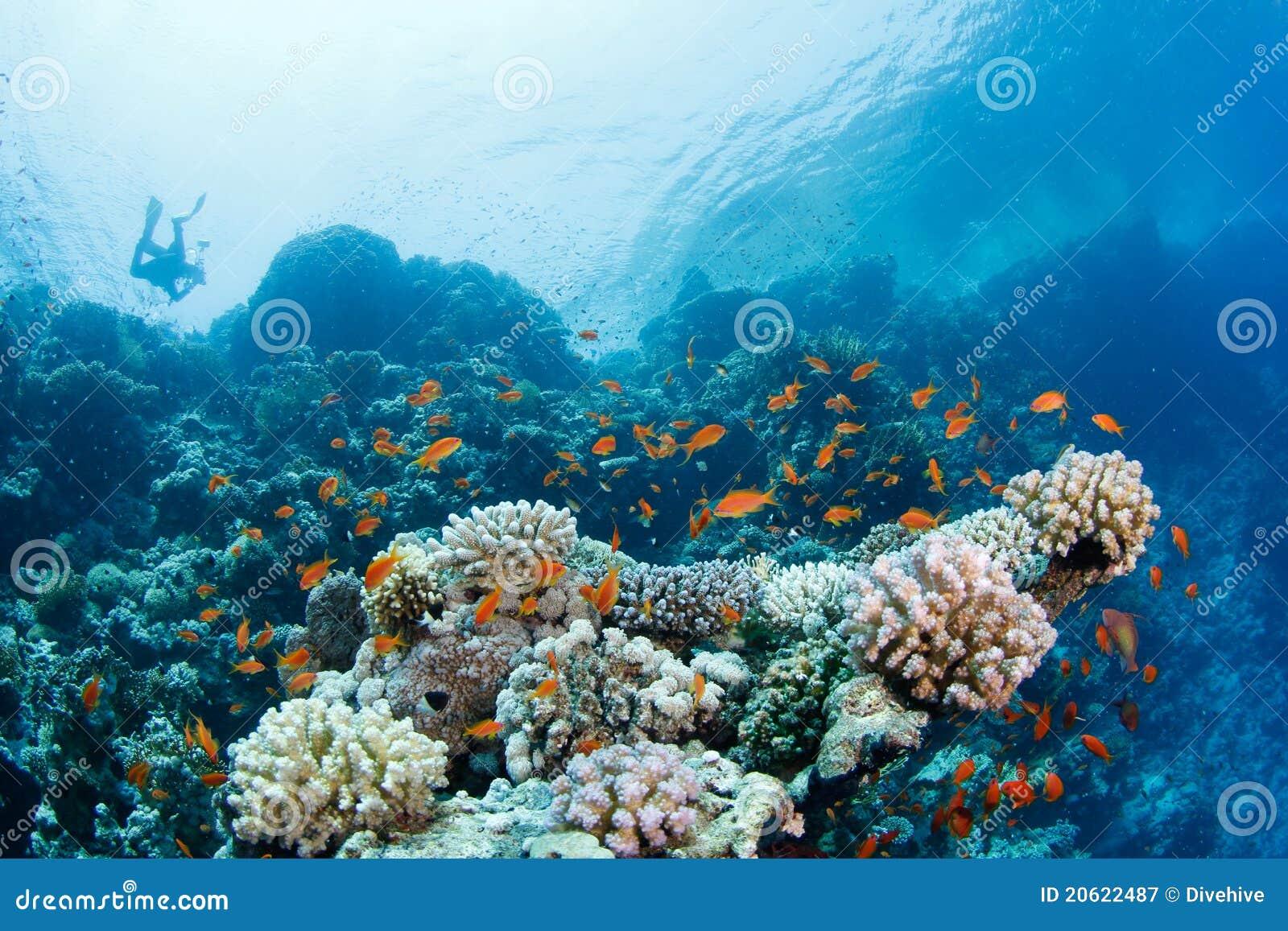 Recife coral bonito com anthias e mergulhador