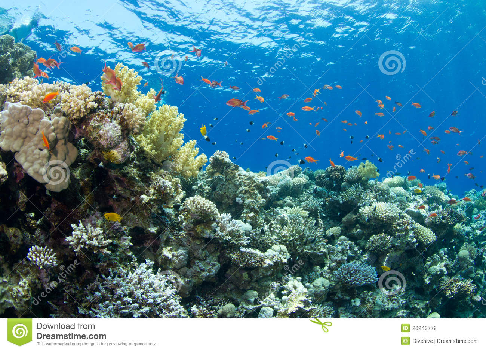 Recife coral com anthias do lyretail