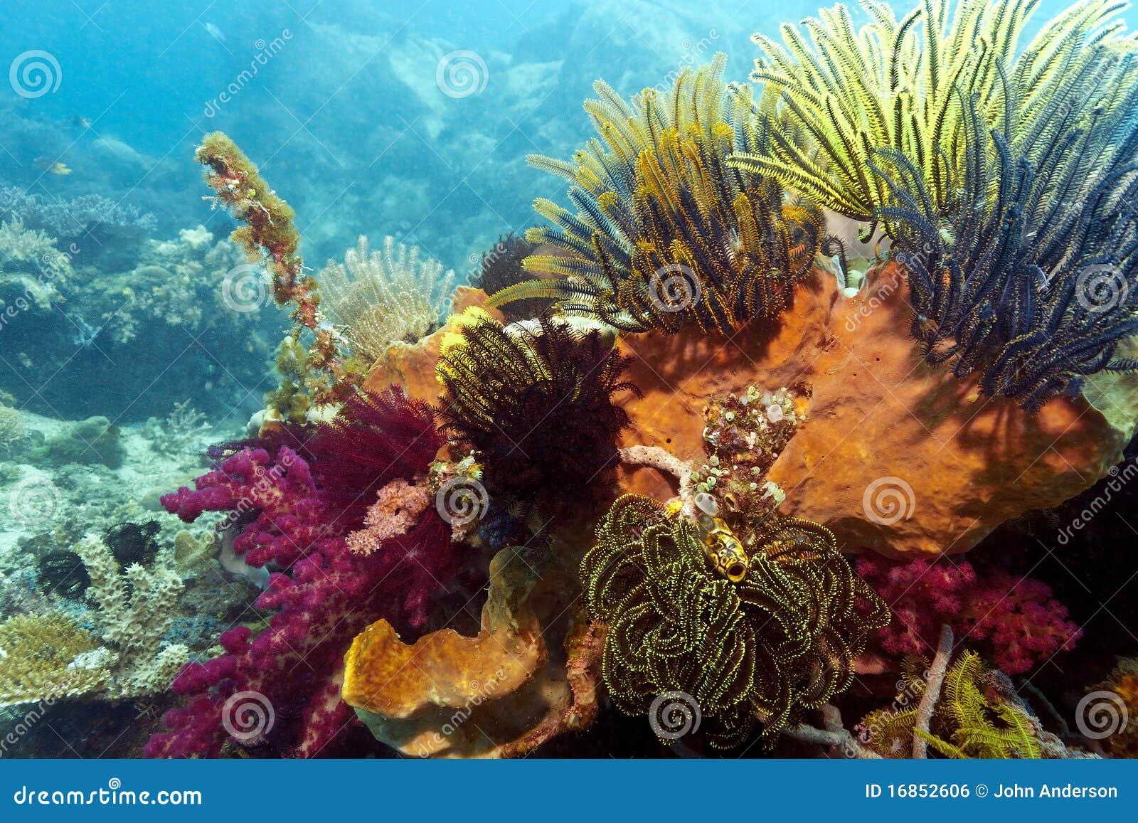 Recife coral indonésio