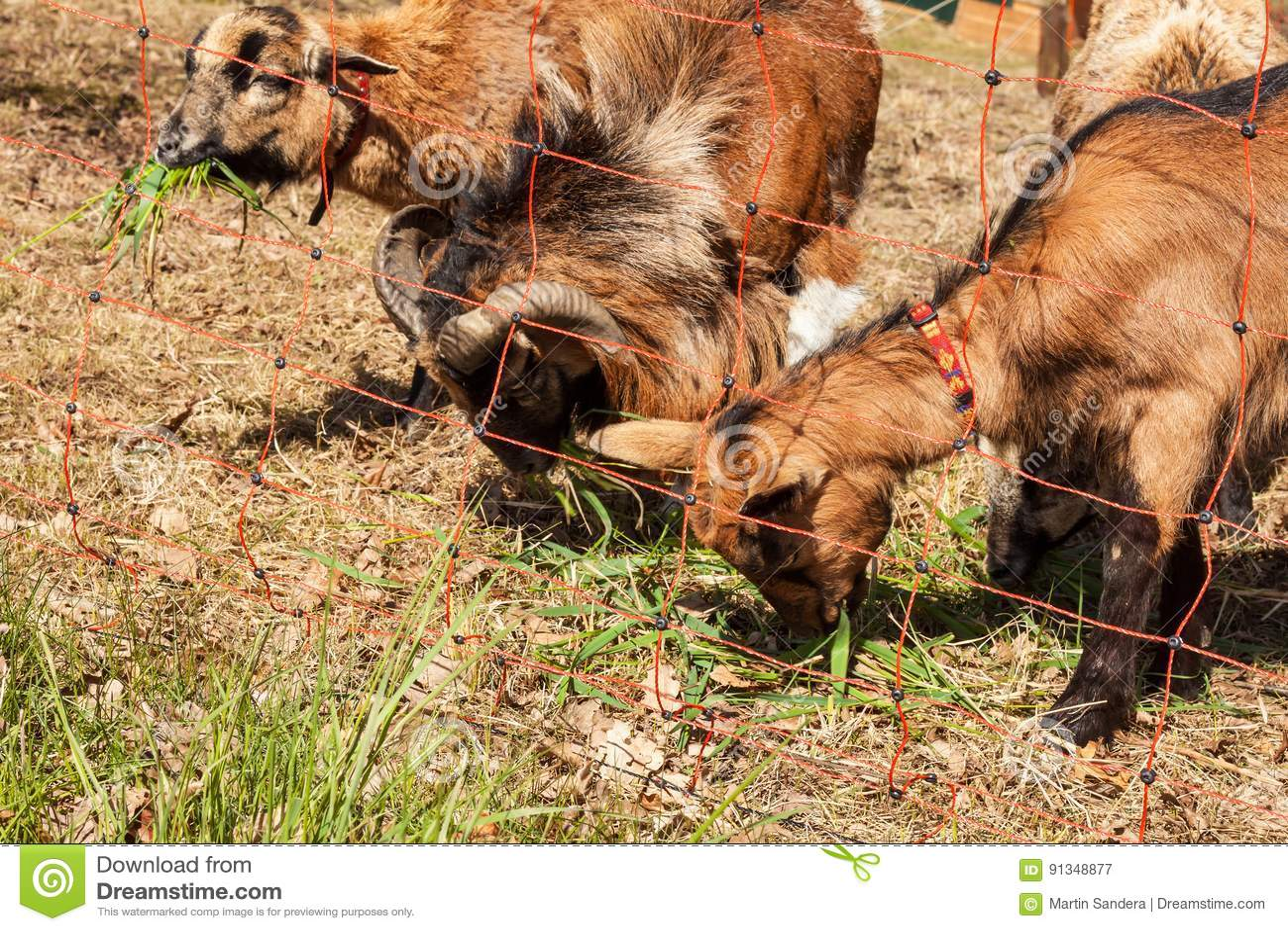 recinto elettrico per l 39 allevamento bestiame pastore che