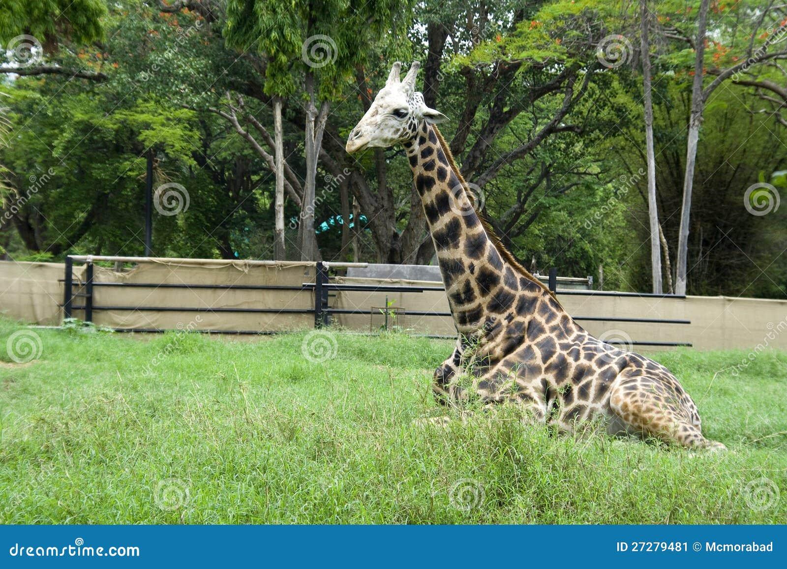 Reclining giraff