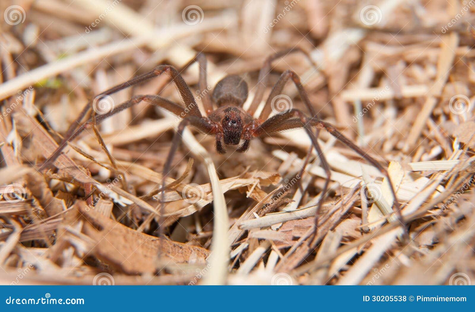 Recluse de Brown, uma aranha peçonhento