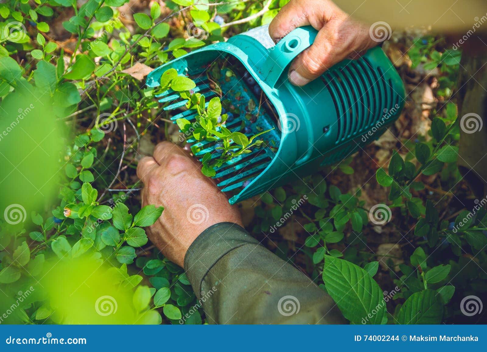 Recolhendo mirtilos na floresta